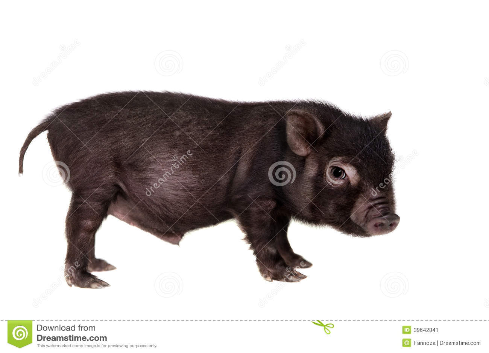 Piggy που απομονώνεται μαύρος στο λευκό