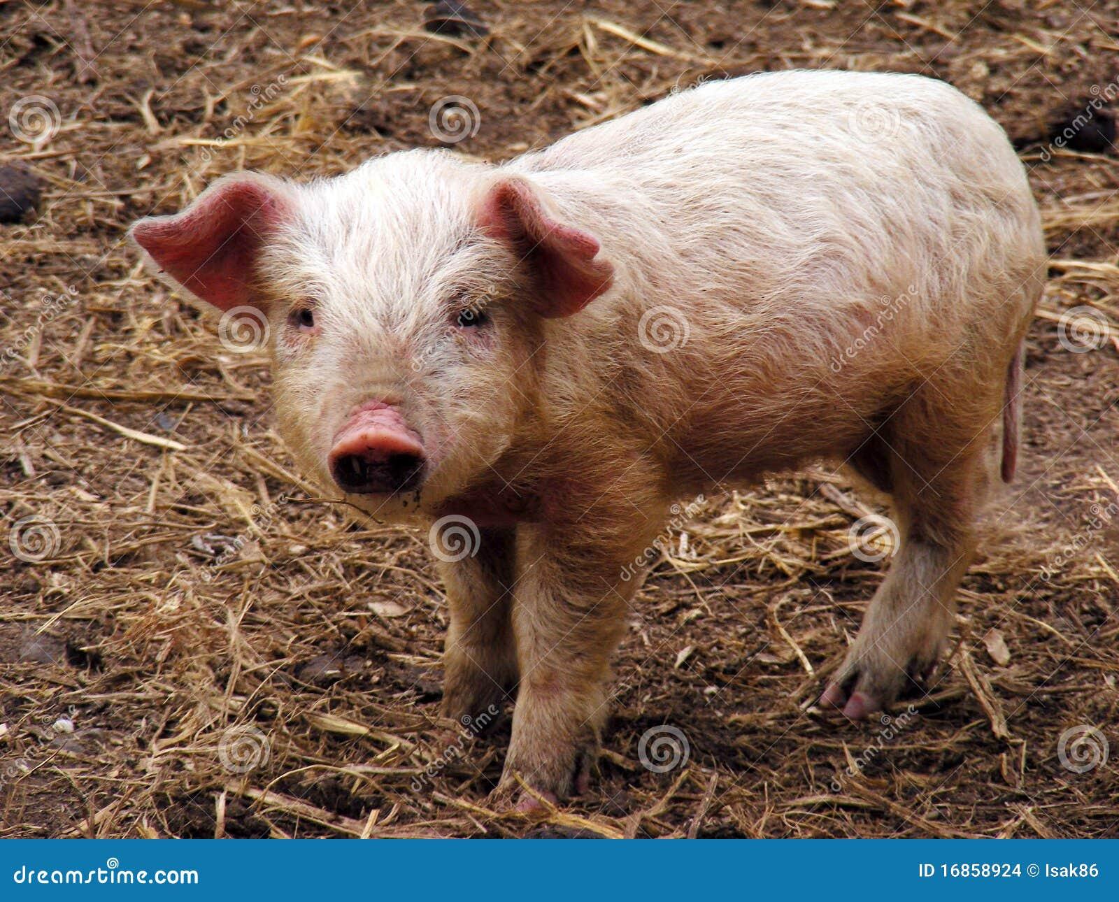 Piggy novo