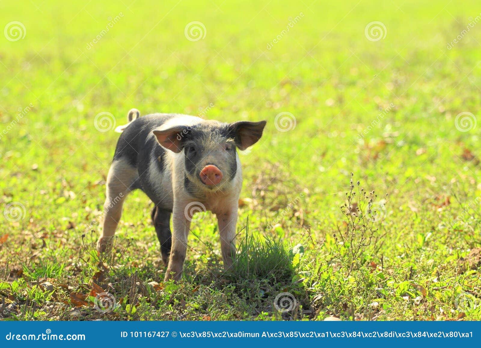 Piglet on farm