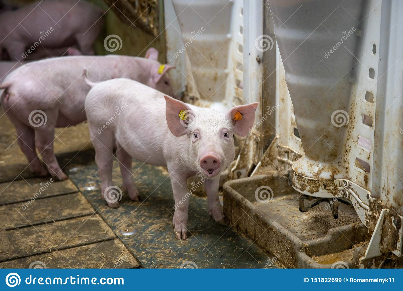 Piglet Waiting Feed  Pig Indoor On A Farm Yard In Thailand