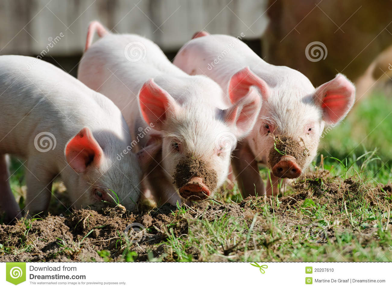 Three cute little curious piglets rooting the ground and looking up at ...