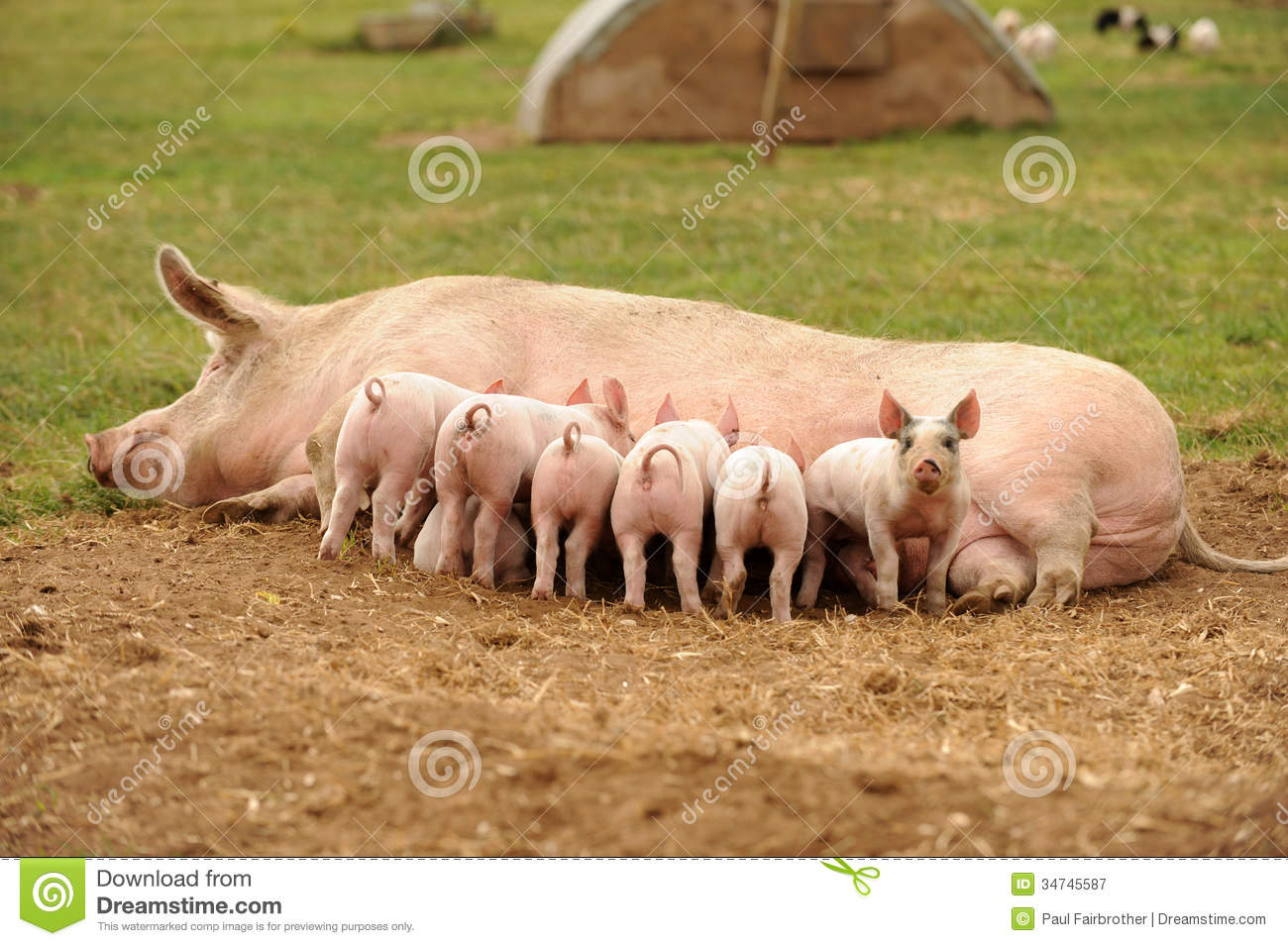 understanding the statement all men are pigs What does men are pigs mean does it mean men are dirty or men will screw anything in their paths follow like pigs, or men have no sense of manners it all boils down to the whether there is a literal or non-literal interpretation.