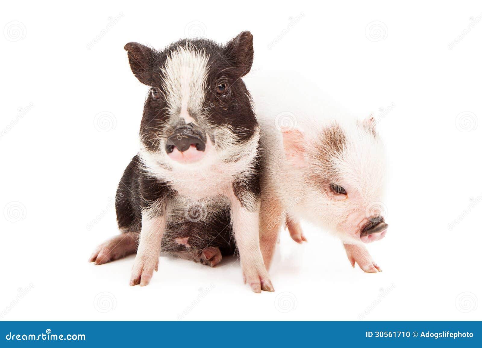 Piglets Sitting Together