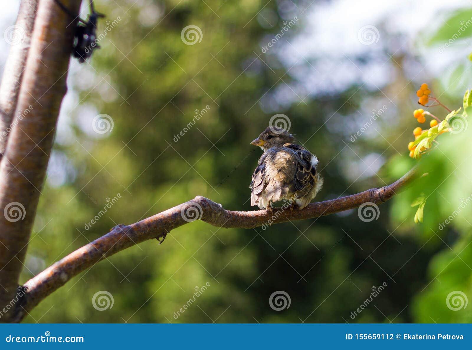 Pigliamosche pezzato chiazzato del juv marrone che si siede su un ramo di albero con le foglie verdi nel parco Fine in su Uccelli