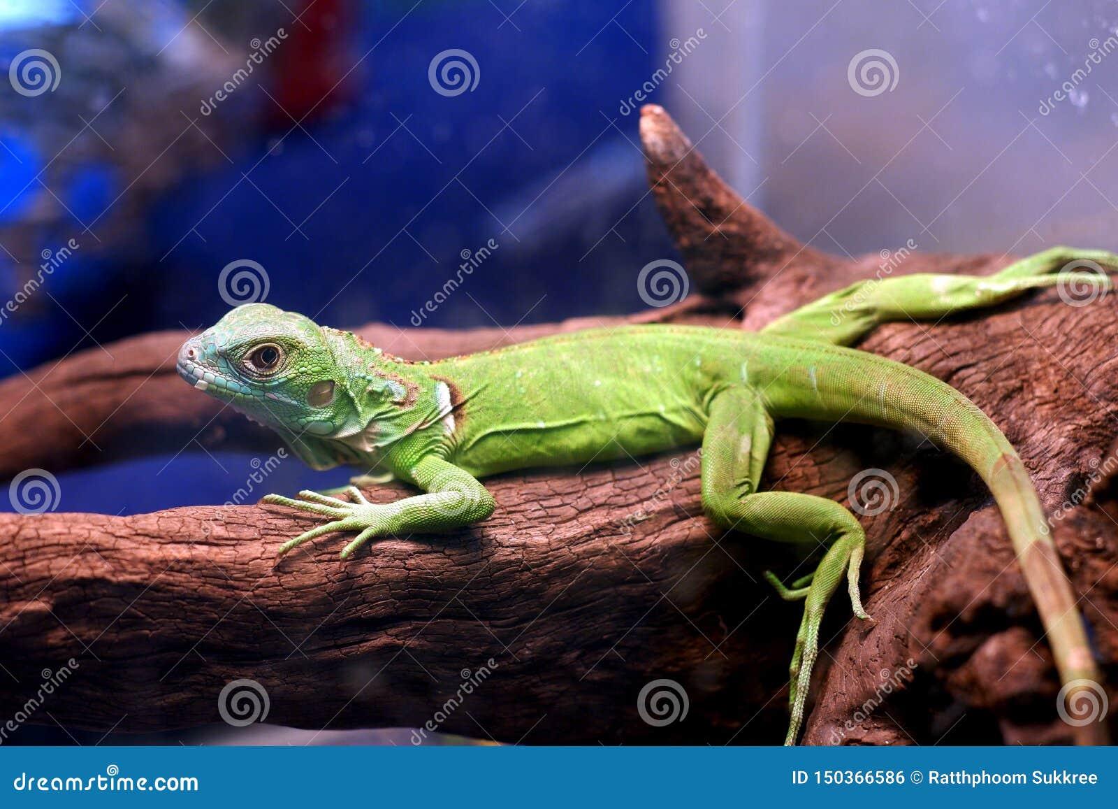 Pigmejowa iguana