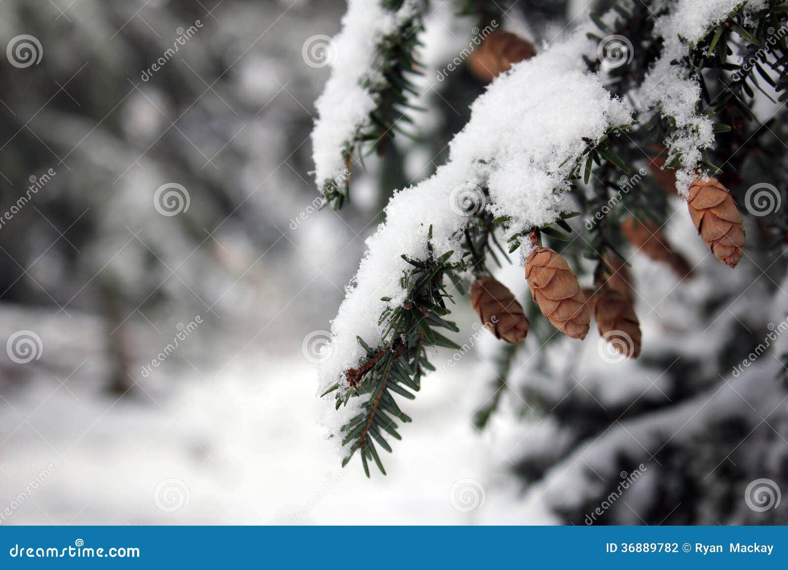 Download Pigna sull'albero fotografia stock. Immagine di stagione - 36889782