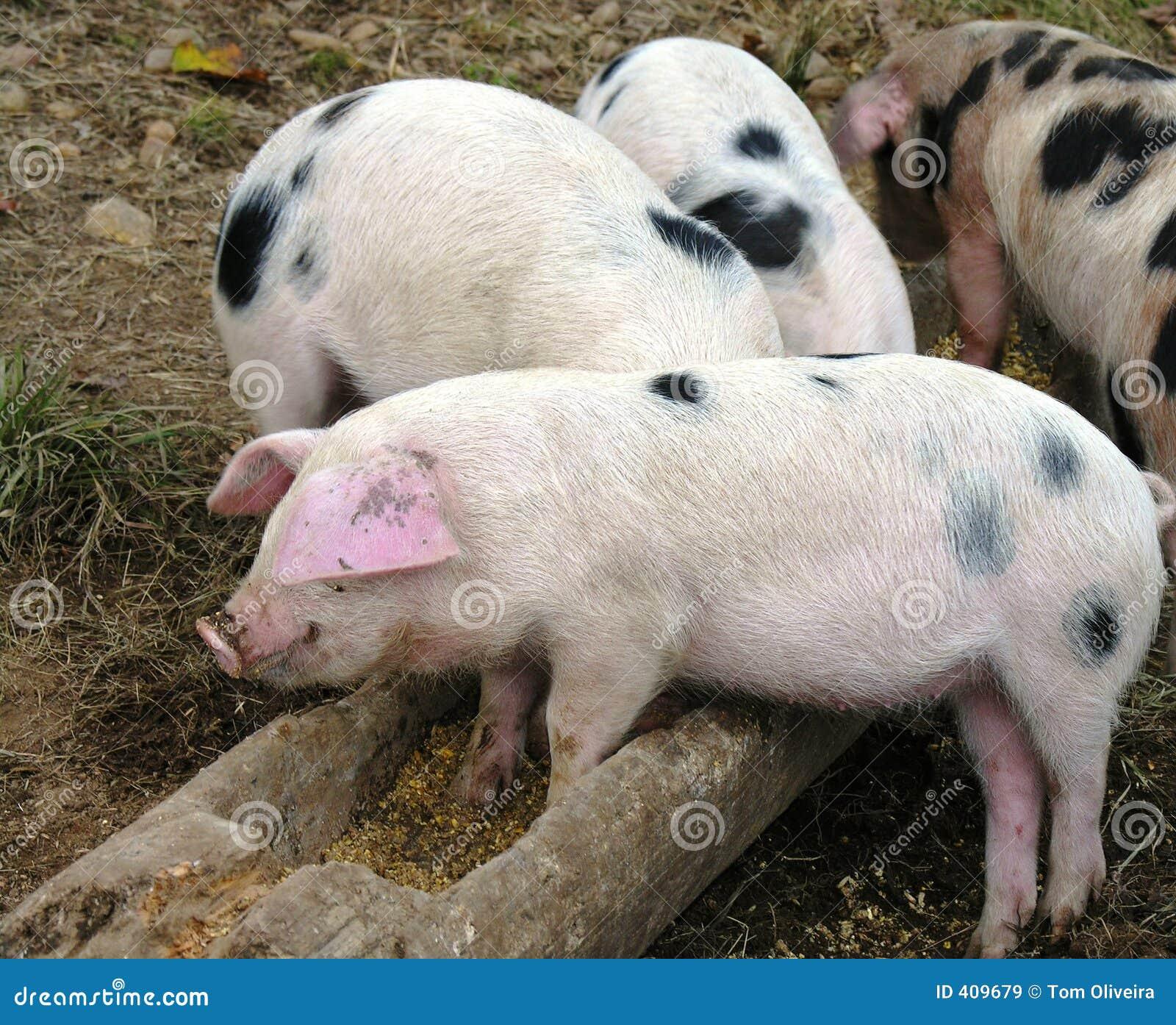 Pigs Feeding time