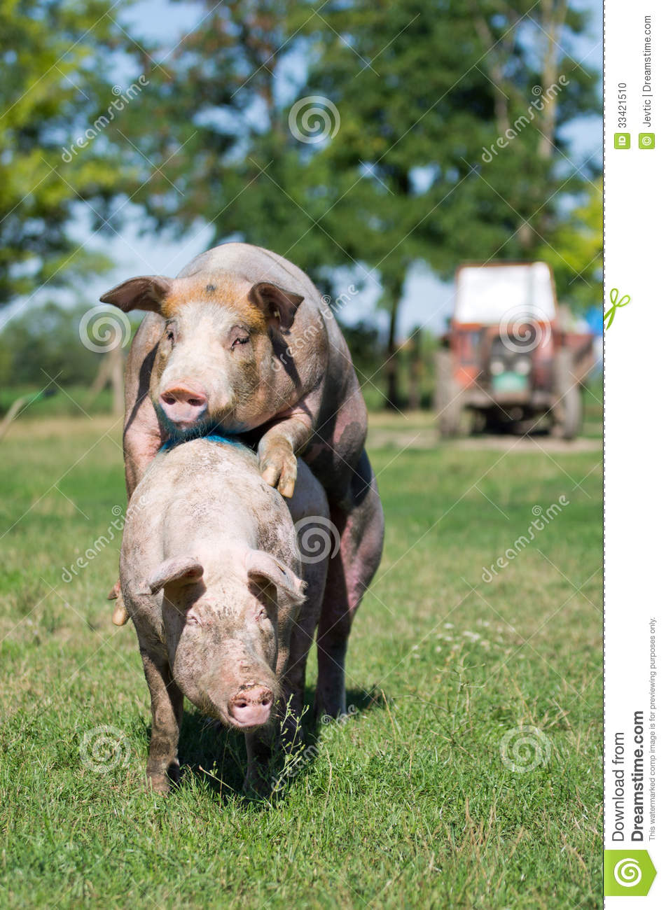 Pigs Mating Stock Photo - Image: 33421510