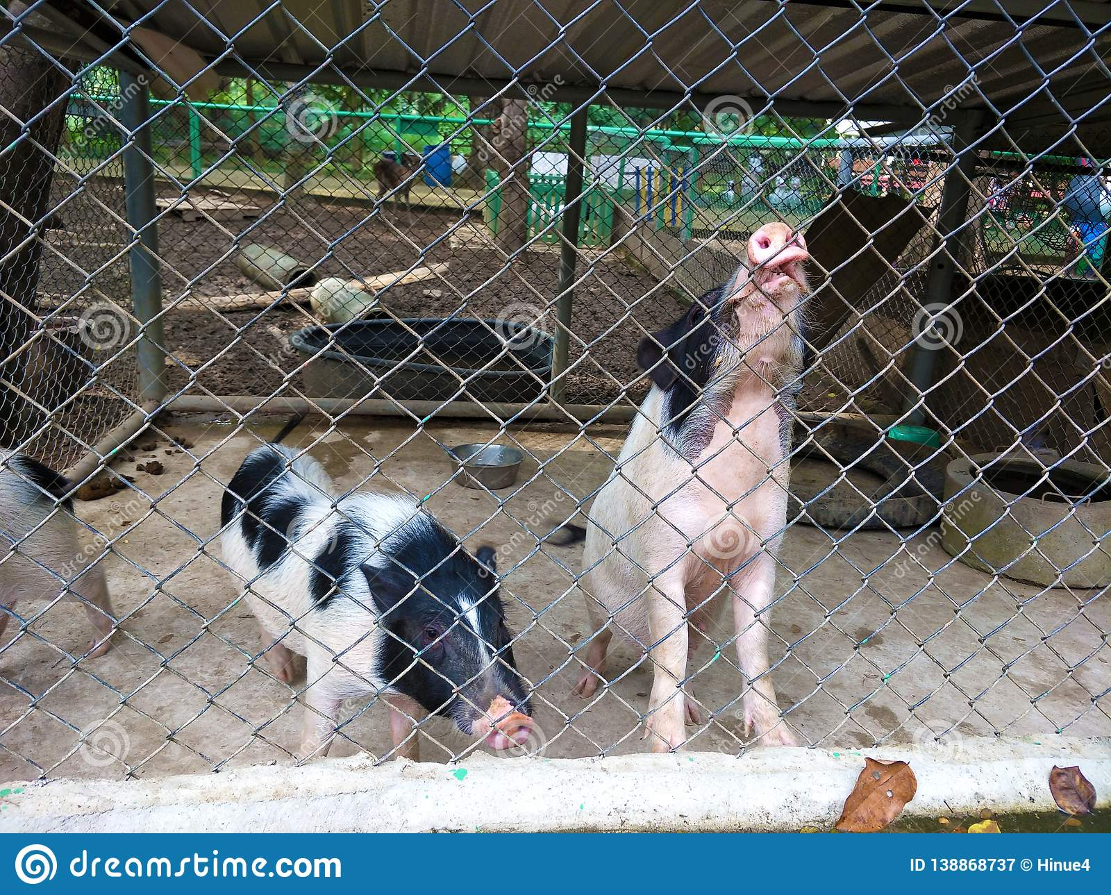 Pigs in the prison