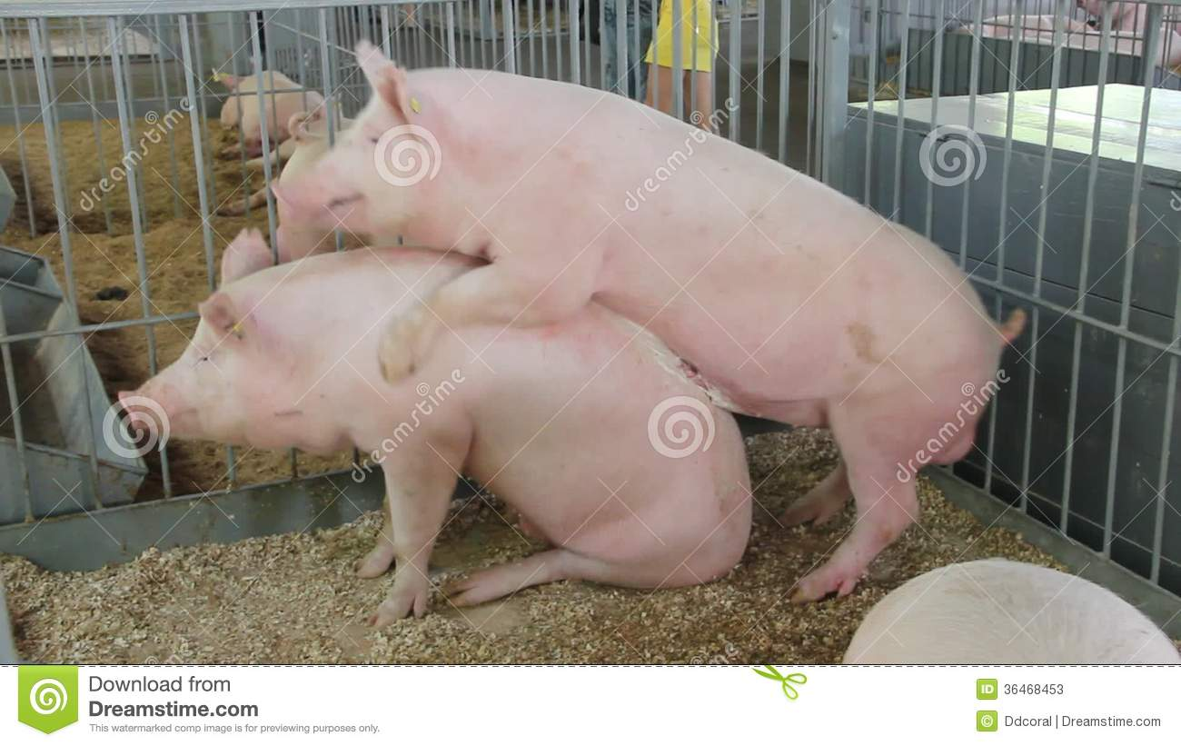 pig sex with humans