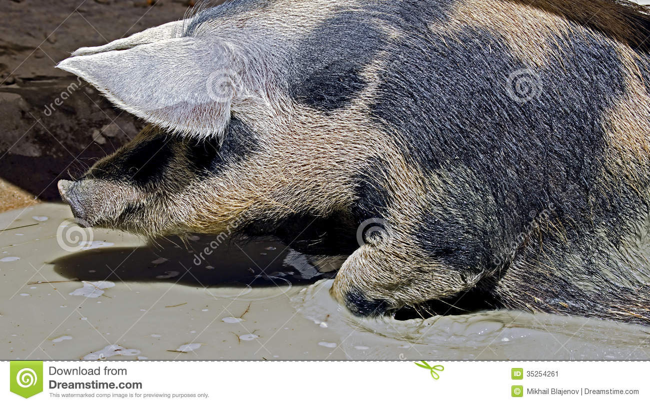 Clipart Pig Images