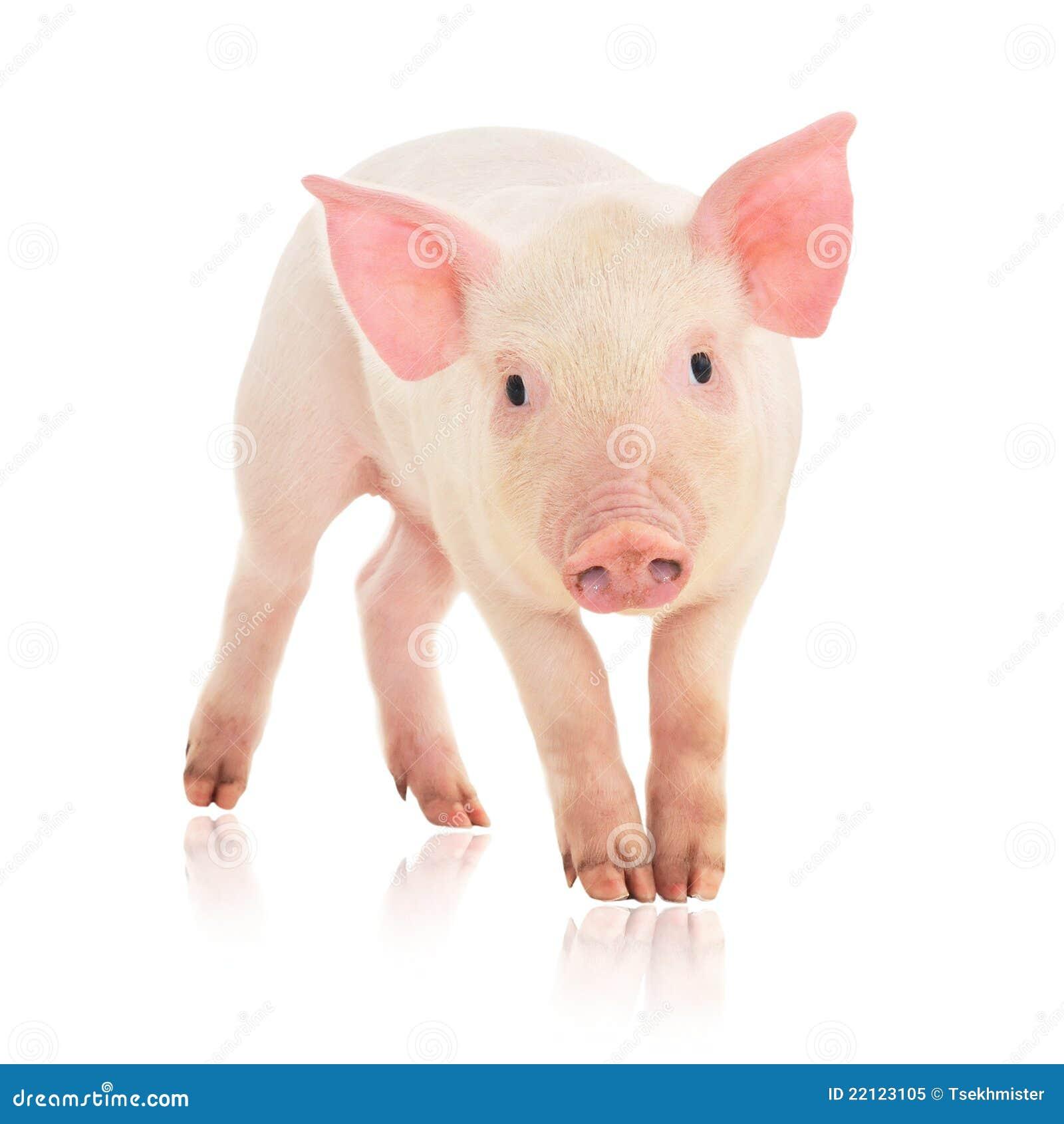 Pigwhite