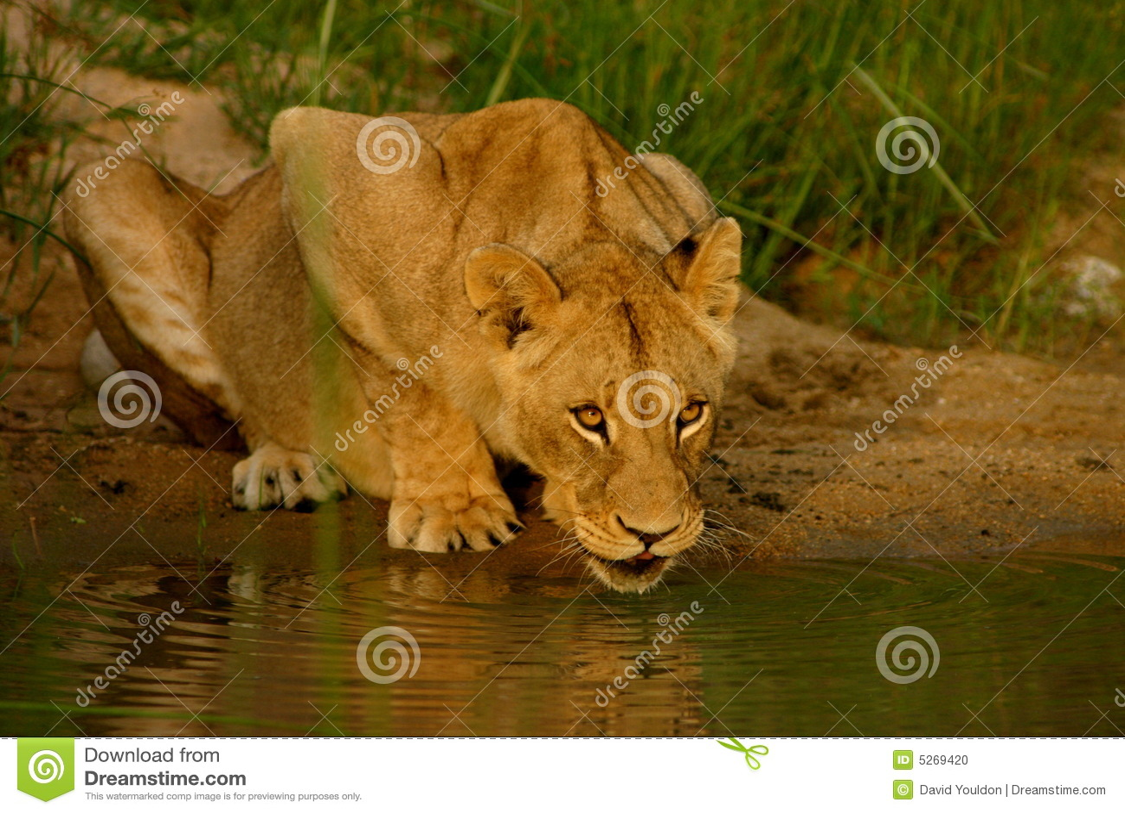 Pij afrykańska lew