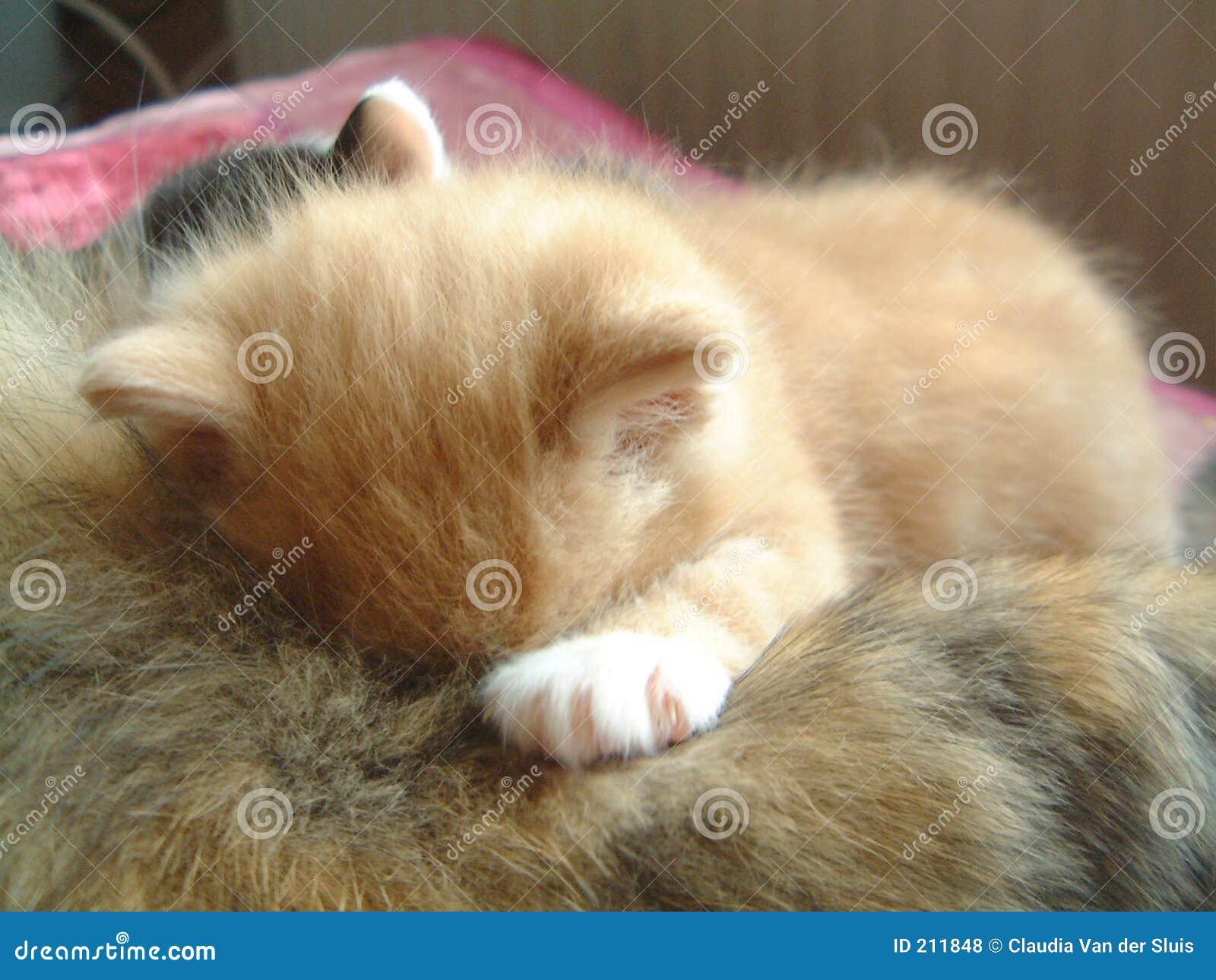 Pij mały czerwony kot śpi