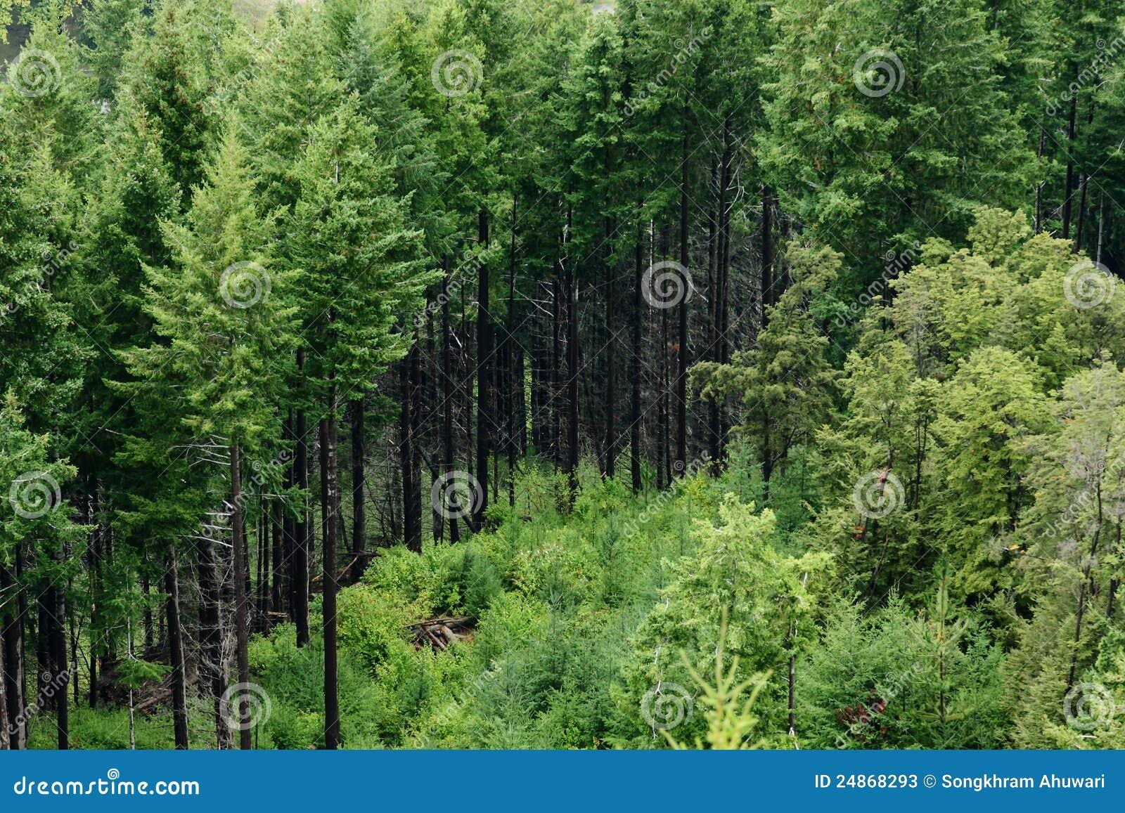 Pijnbomen op de Heuvel