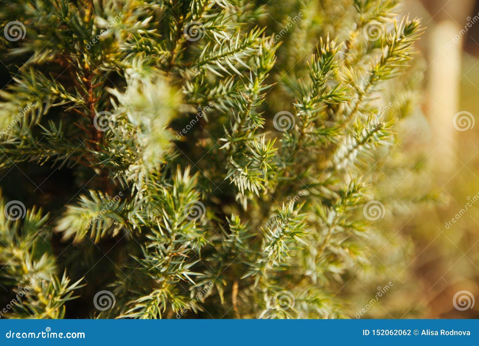 Pijnboom of cedertakken, jonge groene naalden