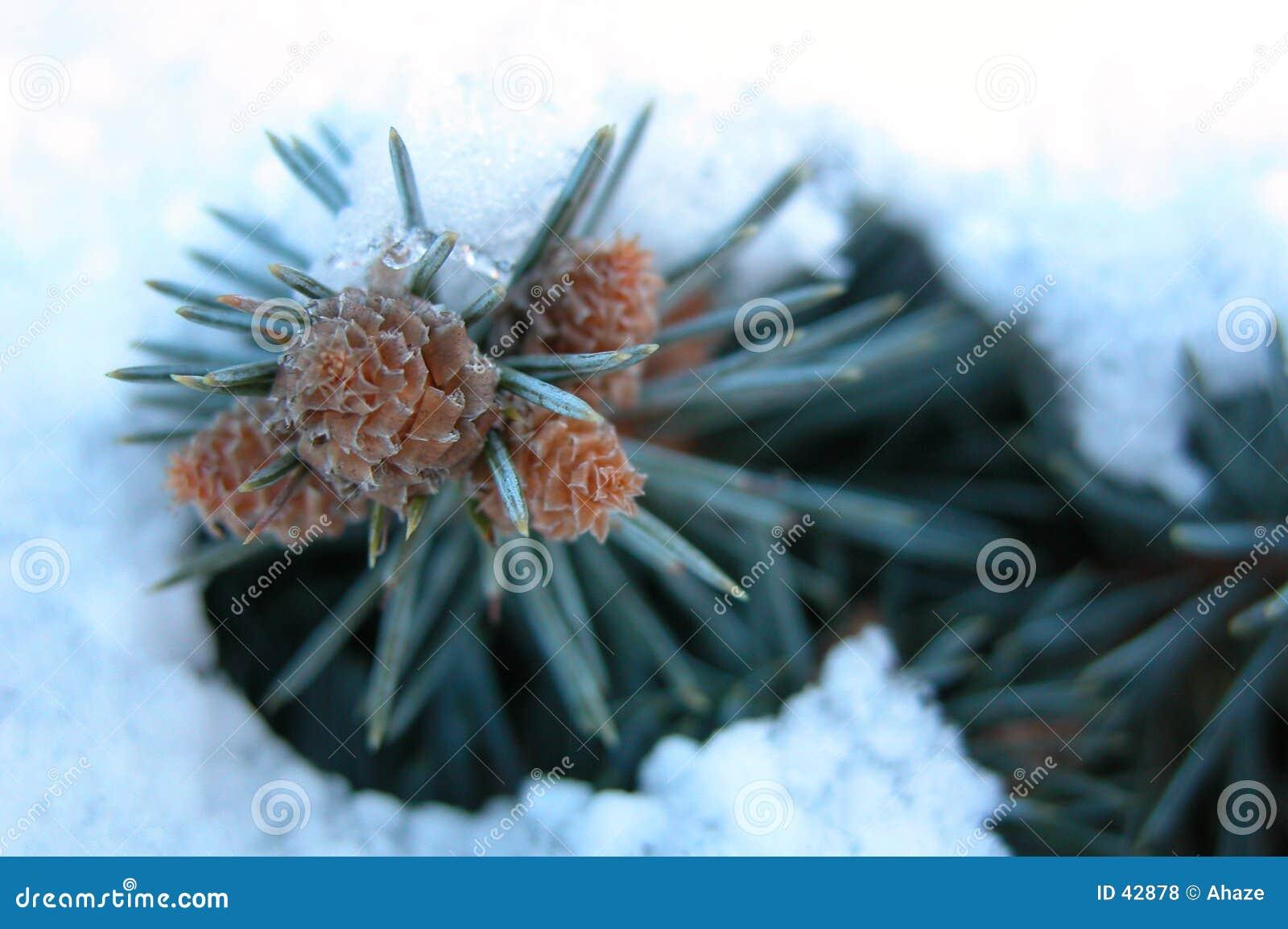 Pijnboom in Sneeuw