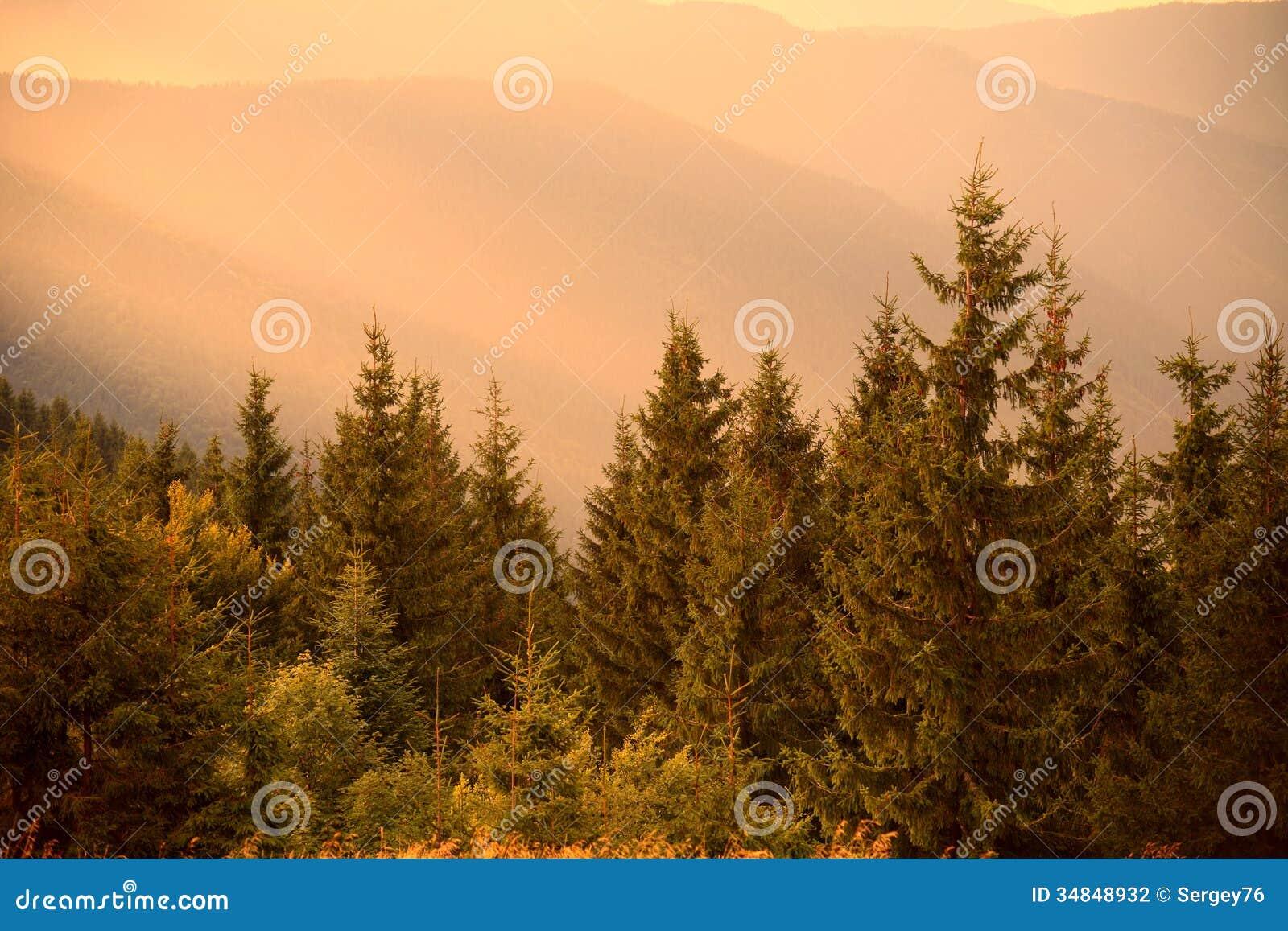 Pijnboombomen in warme zon lichte en nevelige heuvels