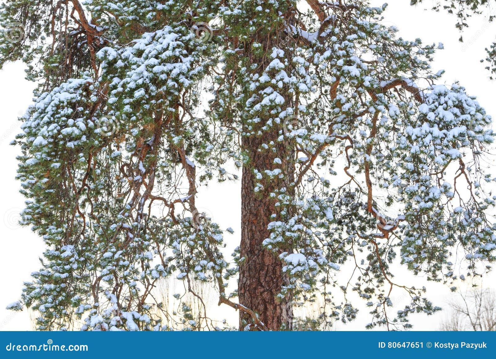 Pijnboomtakken gestold met sneeuw