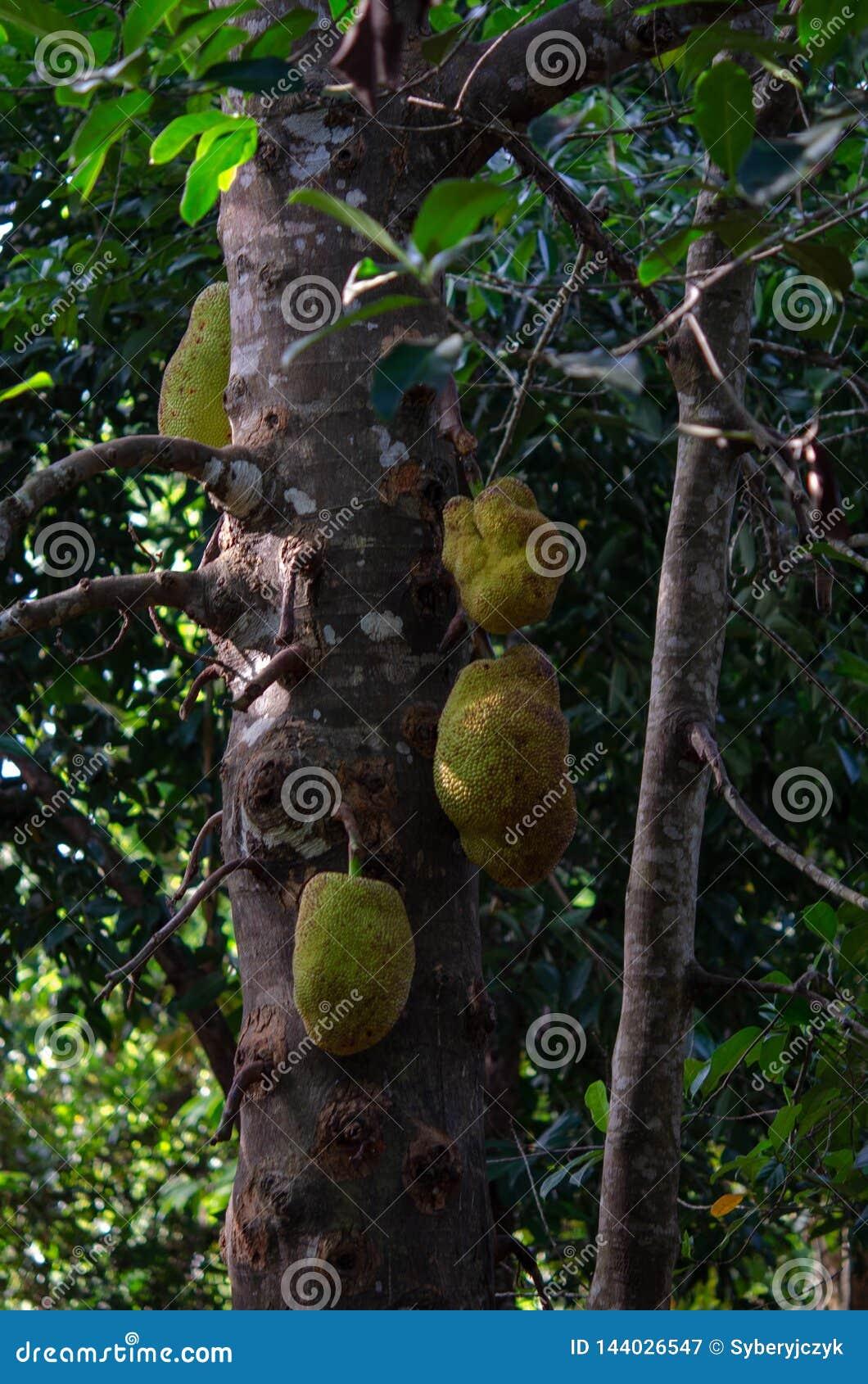 Pikantności plantacja 2019 - dźwigarek owoc Tanzania, Luty od Zanzibar, -