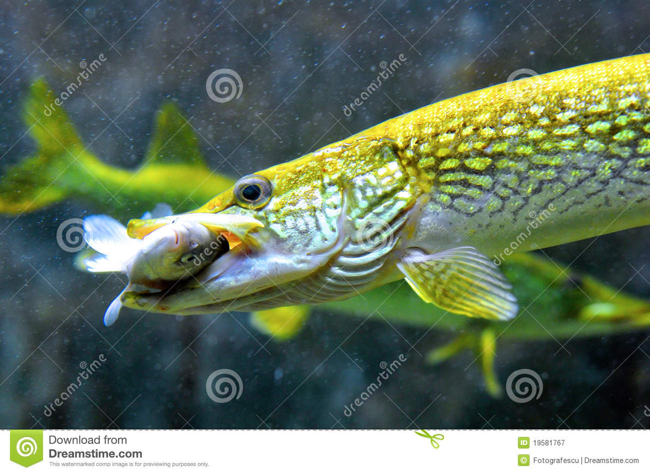 Pike fish hunting and eating stock image image 19581767 for Fish that eat other fish