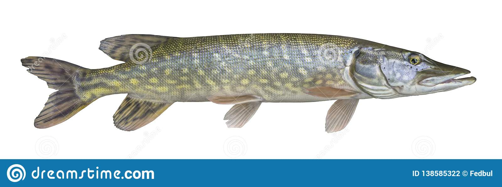 Pike fish trophy isolated on white background