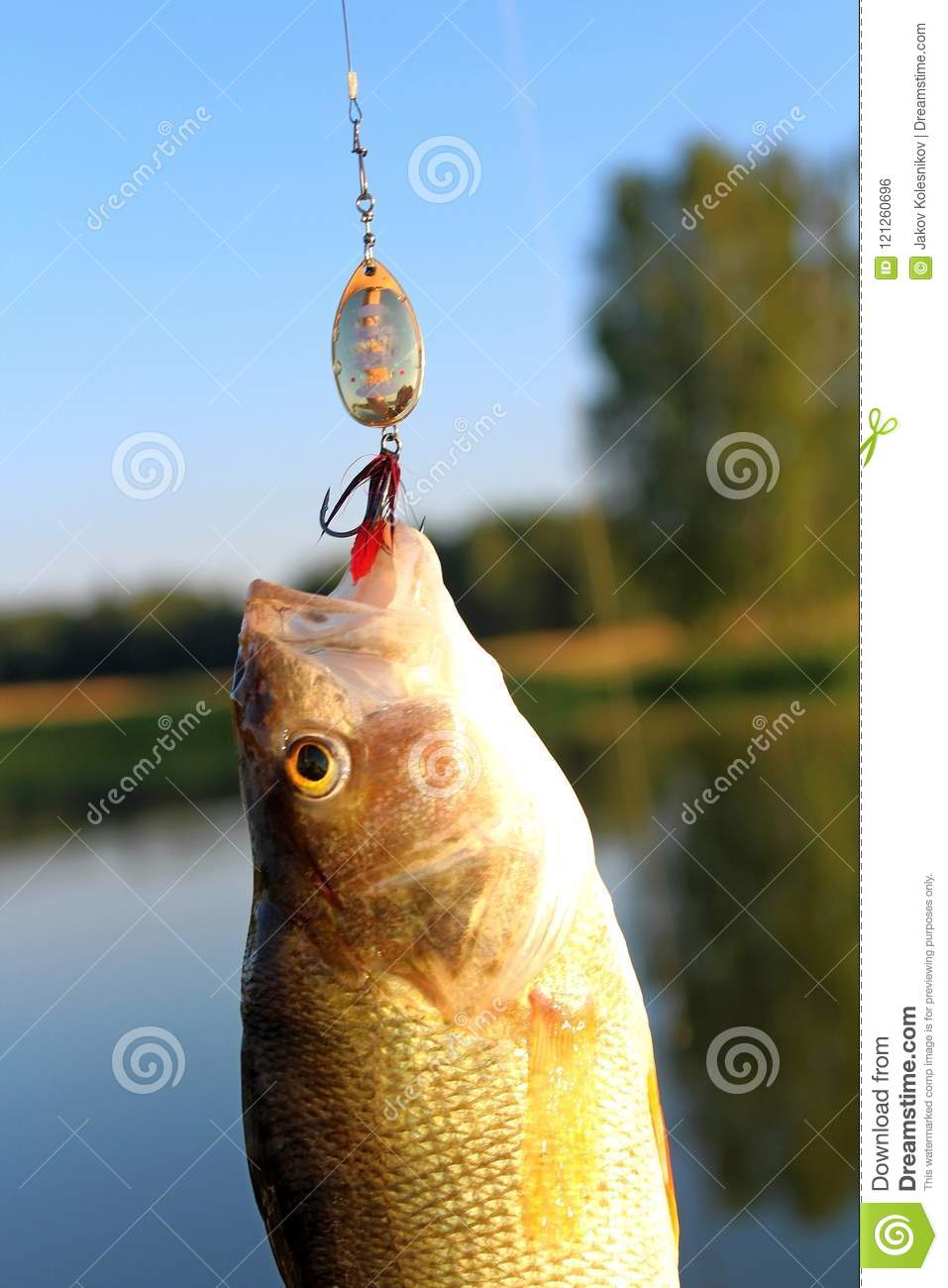 Pike, Large Size, Caught On The River With Spinning And