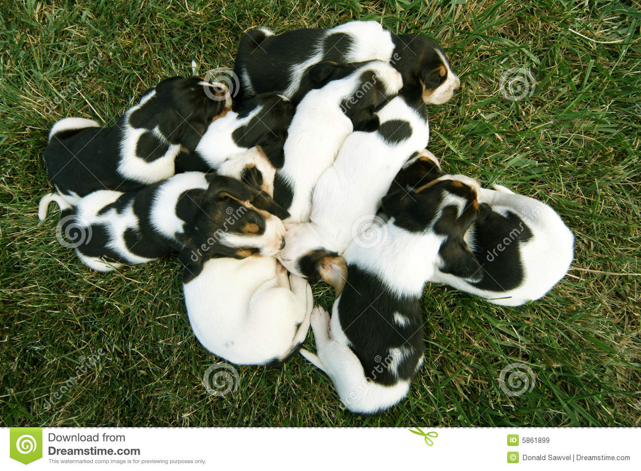 Pile Of Baby Hound Dogs Puppies Royalty Free Stock Images