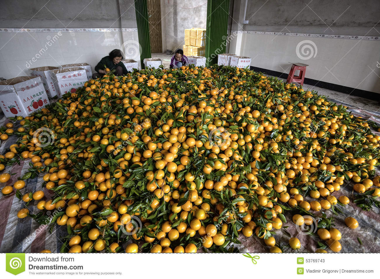 Download Pile Citrus Fruits, Many New Harvest Of Oranges, Women Packing Editorial Stock Photo - Image of agriculture, harvesting: 53769743