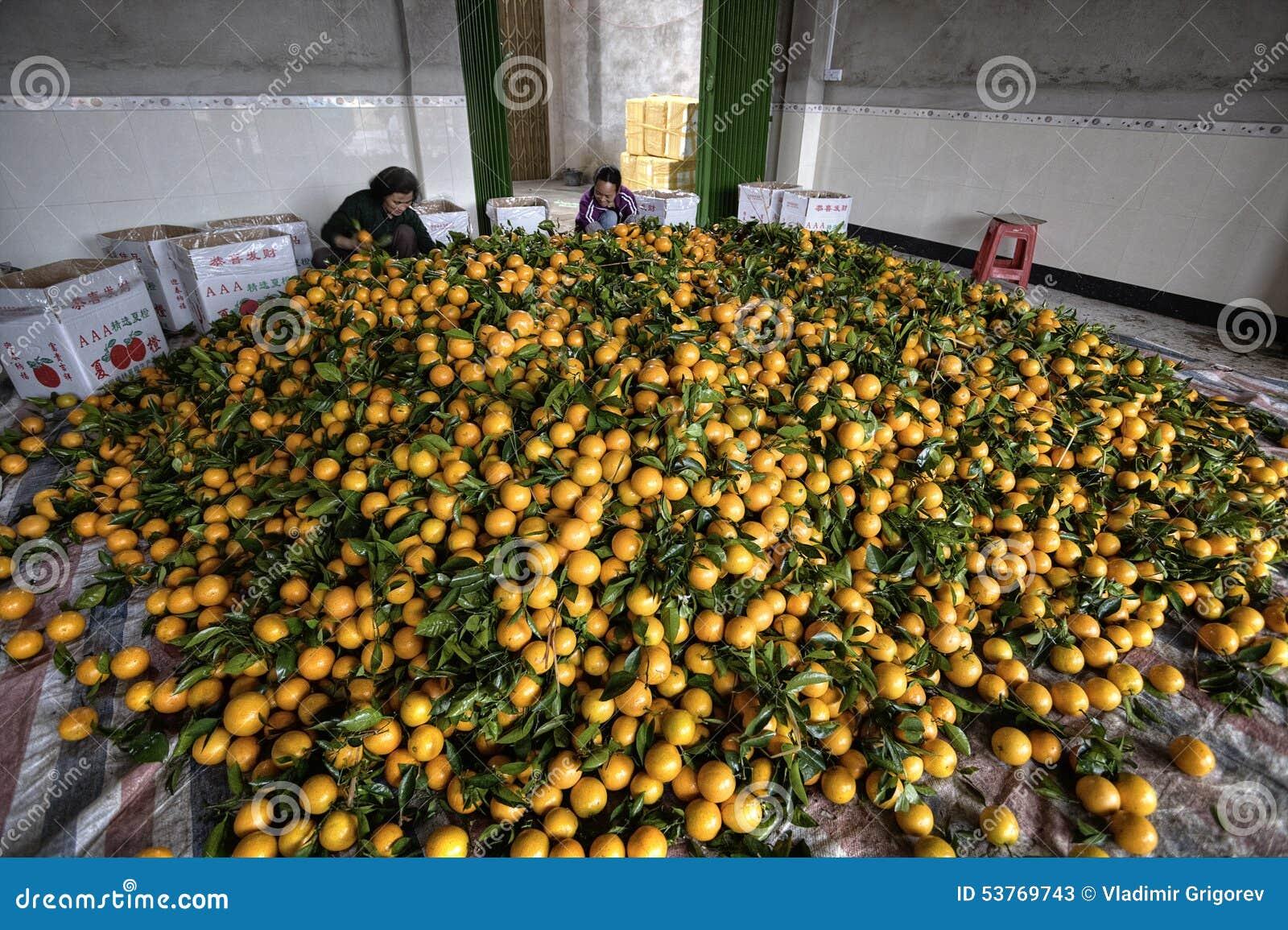 Pile citrus fruits, many new harvest of oranges, women packing