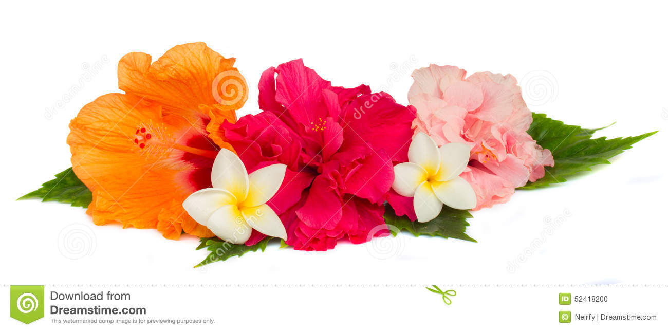 Pile Of Colorful Hibiscus Flowers Stock Photo - Image of floral ...