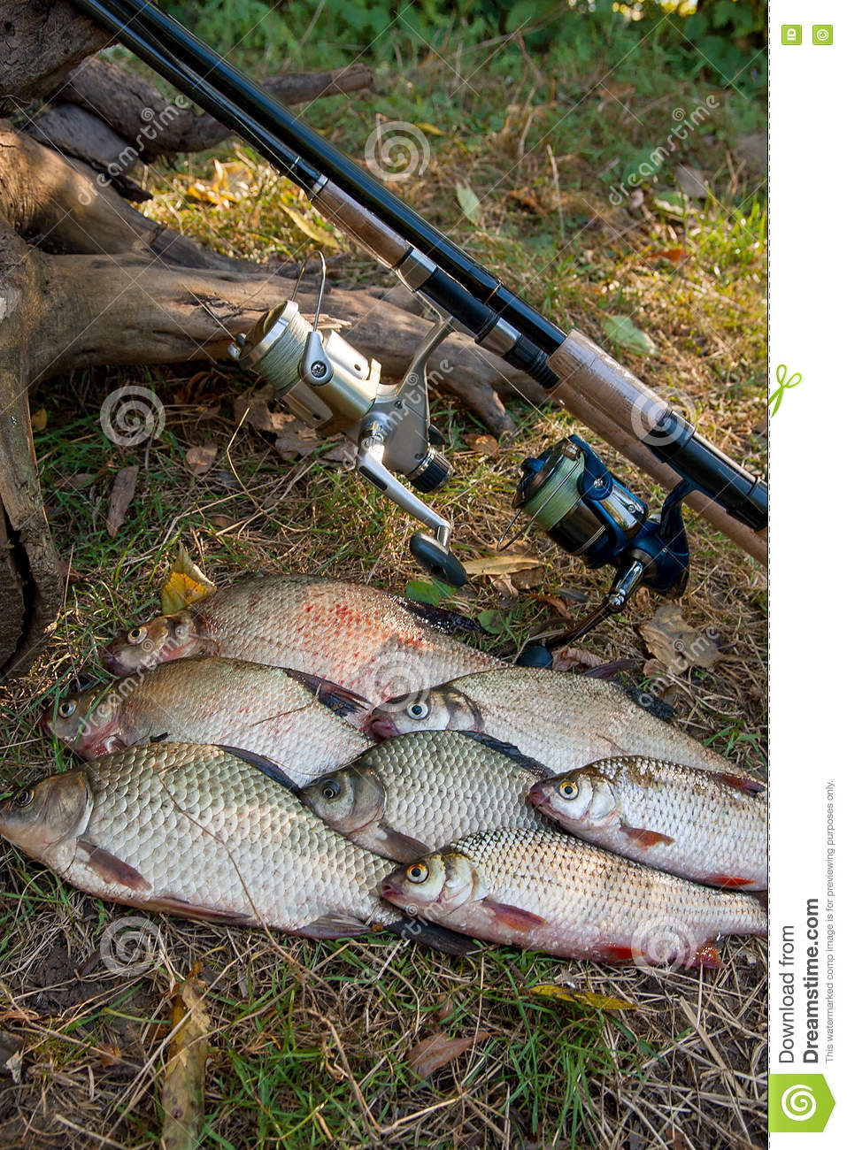 Freshwater fish bream - Pile Of The Common Bream Fish Crucian Fish Or Carassius Roach