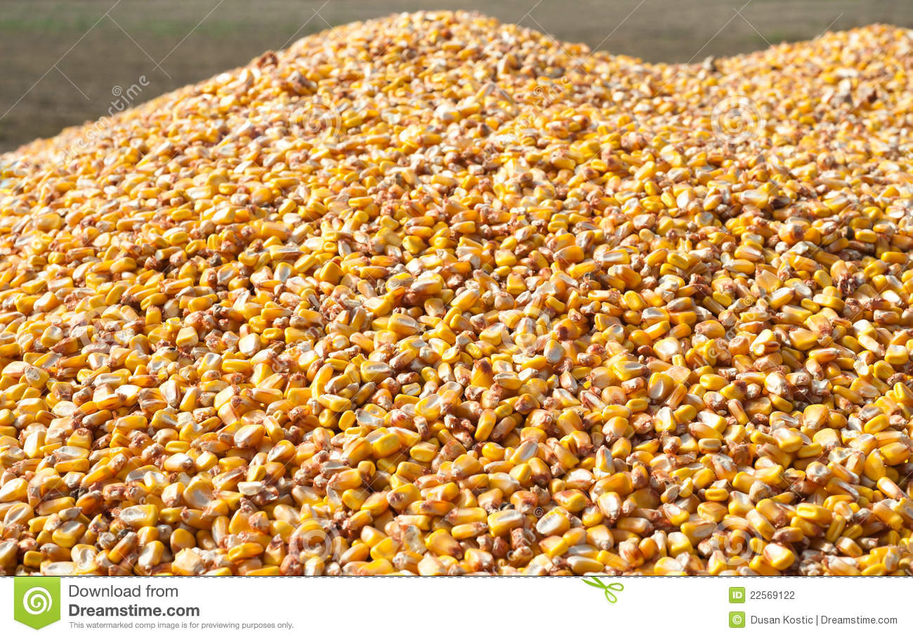 Pile Of Corn Stock Photography Image 22569122