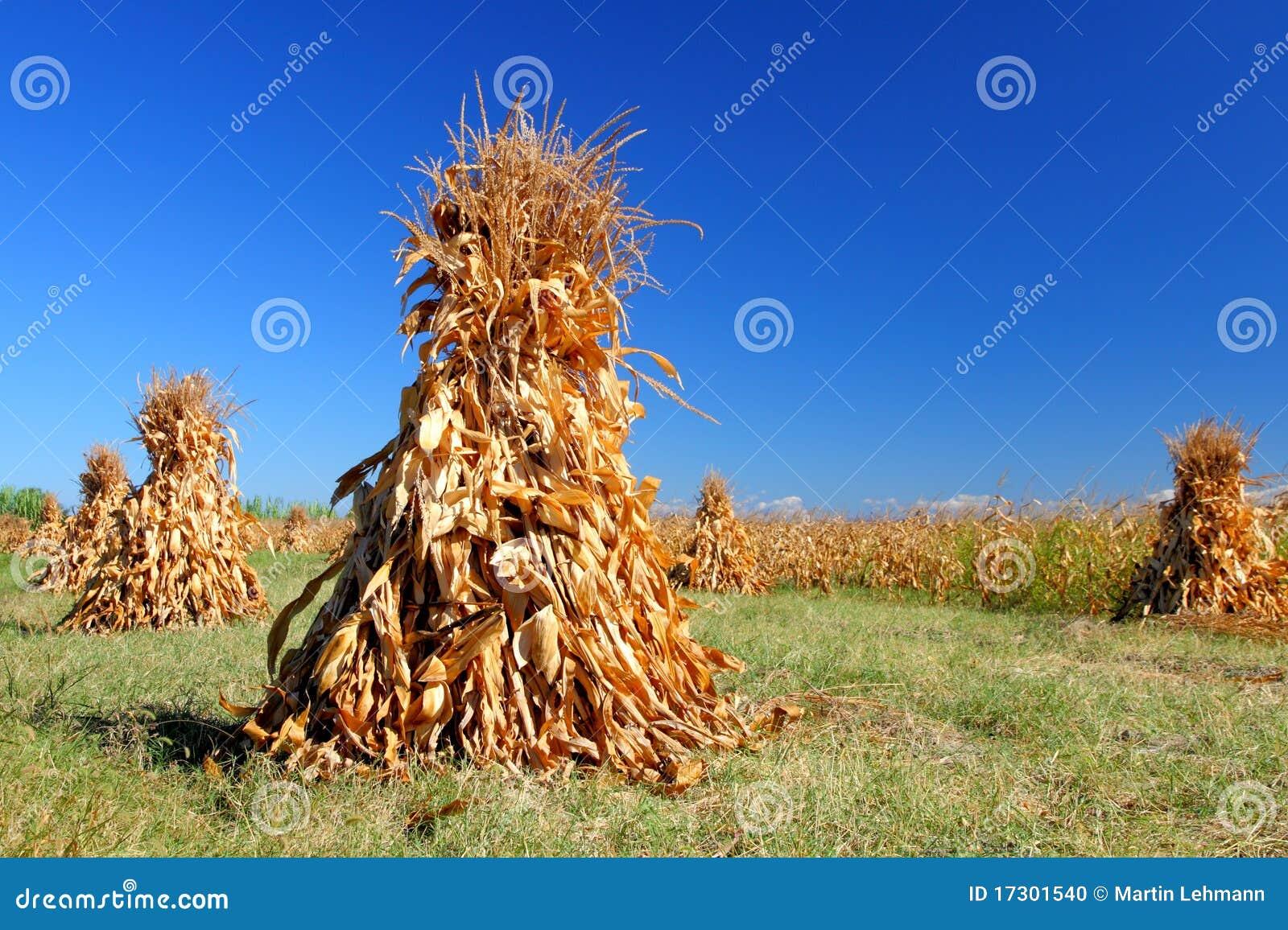 Piles de maïs à sécher