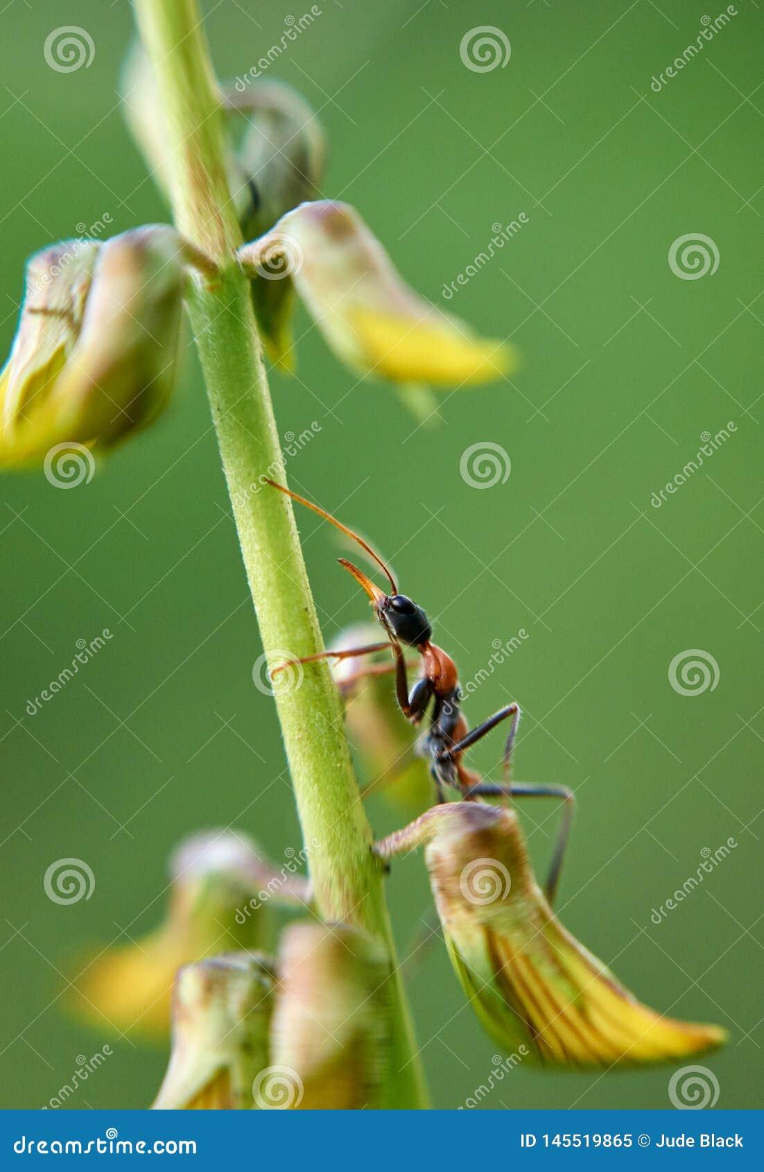 Pilosula de Jack Jumper Ant Myrmecia