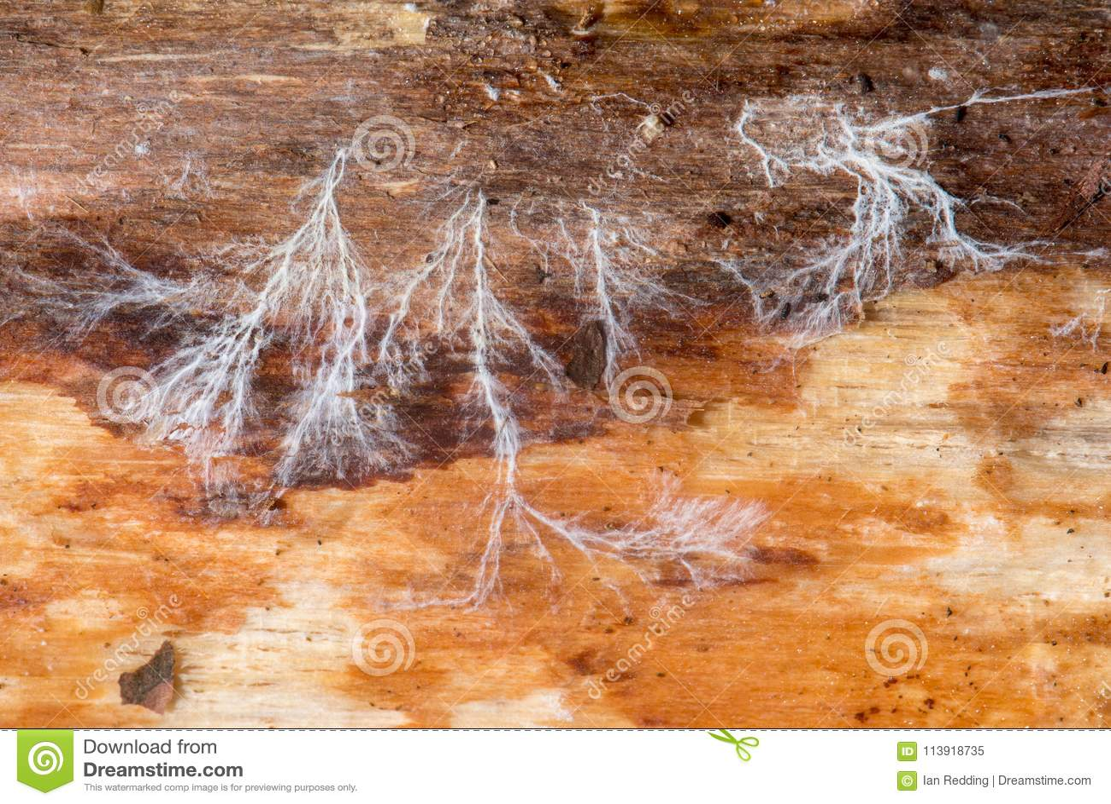 Pilzartiges Myzel auf totem Holz
