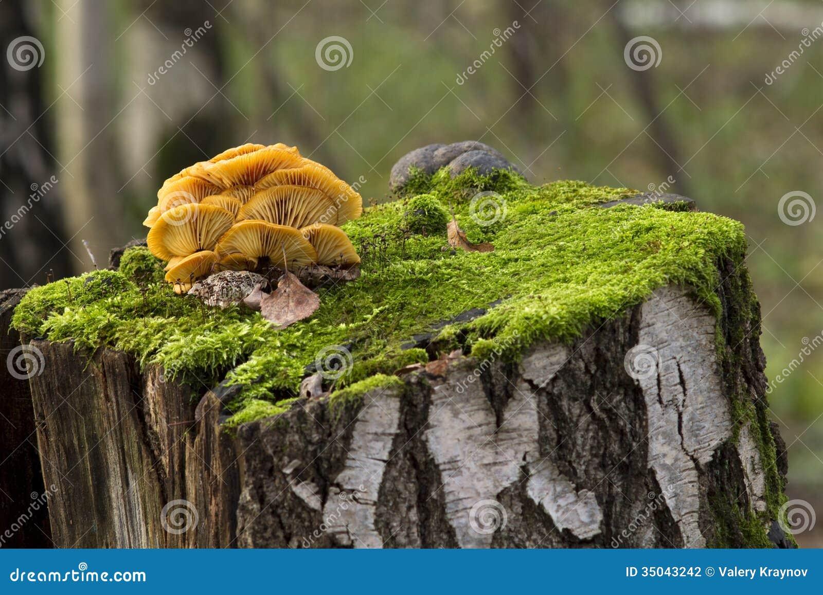 pilze wachsend auf einem baumstumpf stockfoto bild 35043242. Black Bedroom Furniture Sets. Home Design Ideas