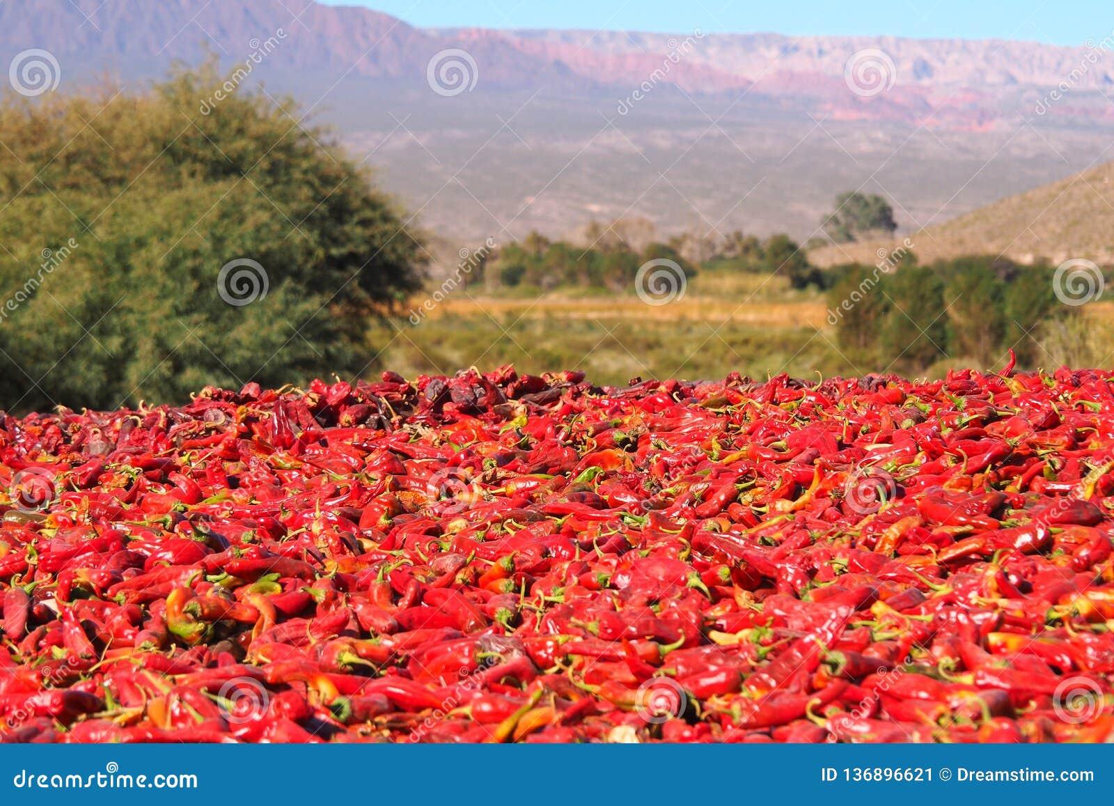 Pimientas rojas brillantes secadas en el sol intenso de Argentina