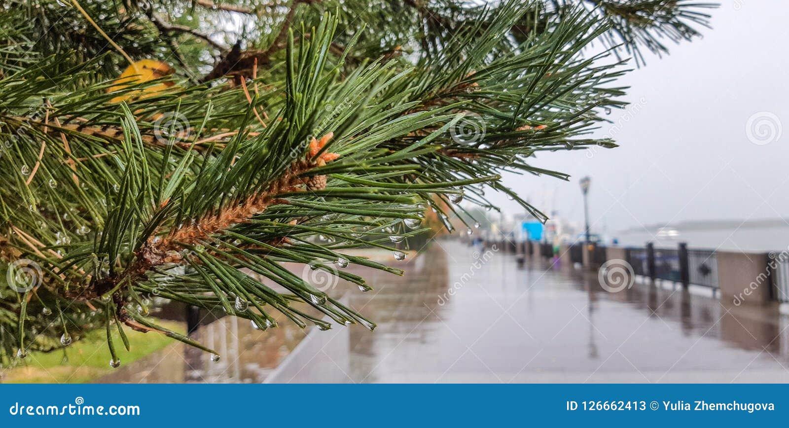 Pin avec des baisses de plan rapproché de pluie sur le trottoir humide parti de remblai de rivière