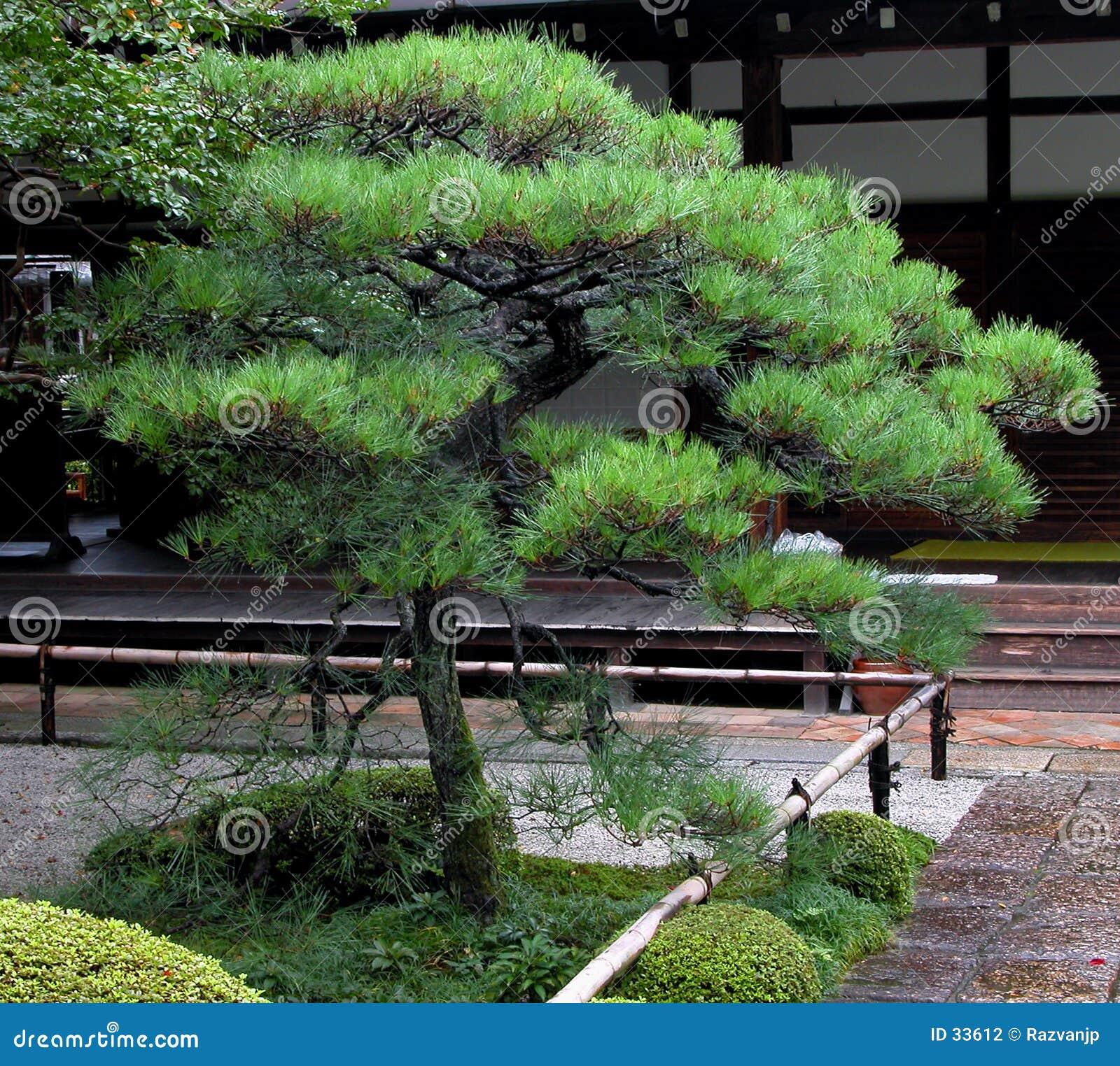 Pin japonais photo stock image du tradition bambou for Pin jardin japonais