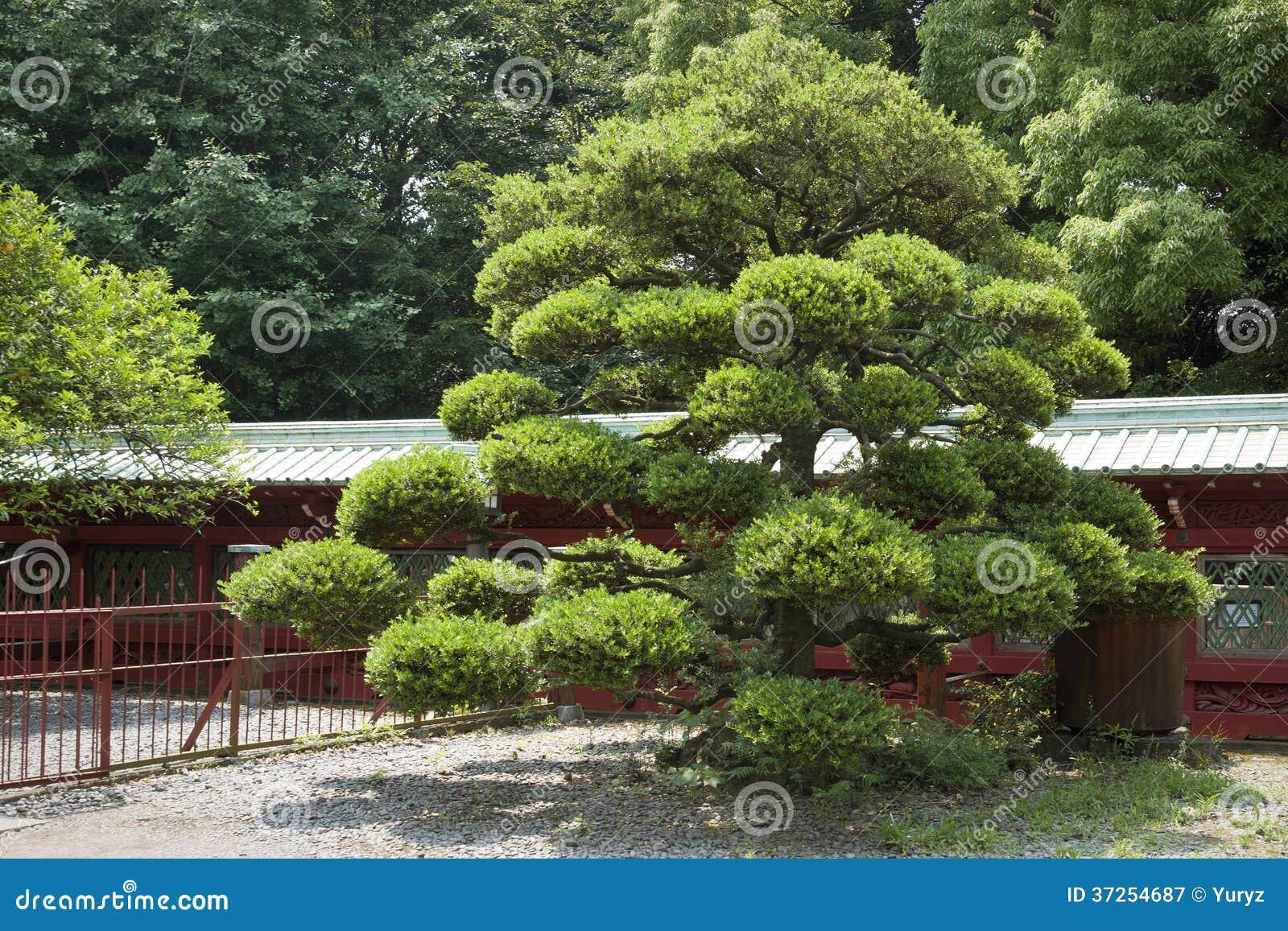 Pin japonais photographie stock libre de droits image for Pin jardin japonais
