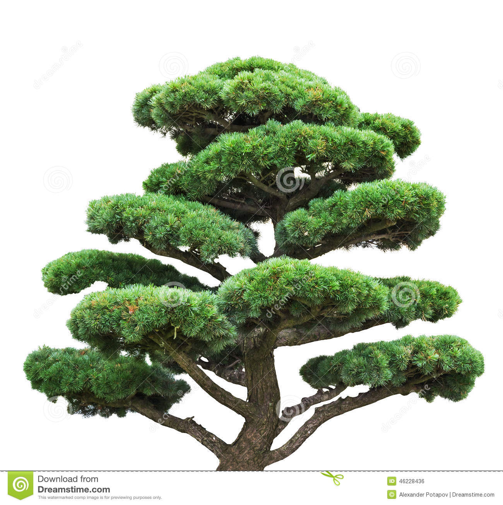 pin vert de bonsa s d 39 isolement sur l 39 arbre blanc photo stock image 46228436. Black Bedroom Furniture Sets. Home Design Ideas