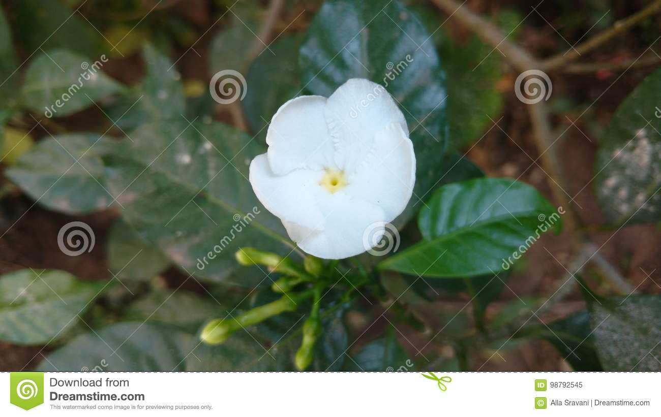 Pin wheel flower stock image image of leaf asia famous 98792545 pin wheel flower is also called as crape jasmine or east india rosebay and neros crown is a ever green shrub native to indiaw cultivated all over asia izmirmasajfo