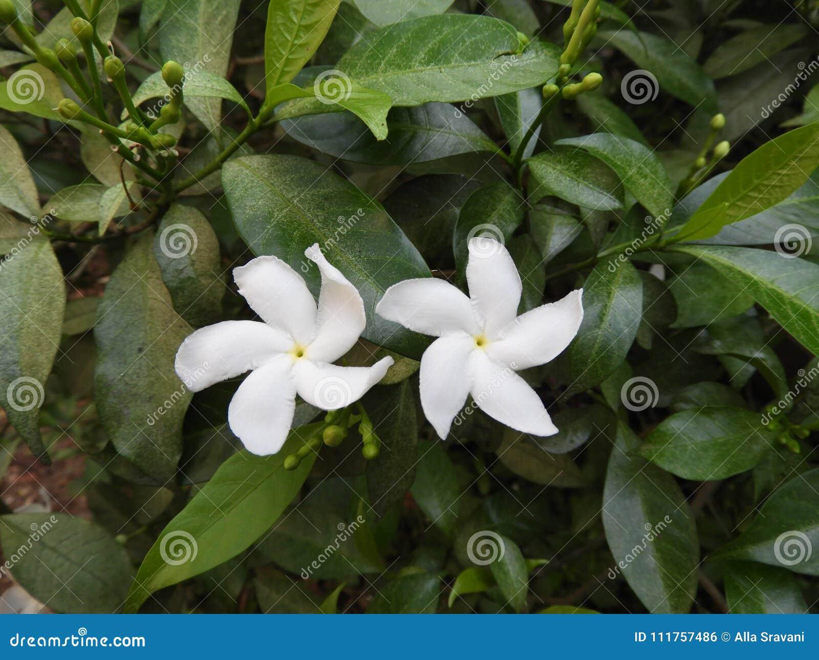 Pin wheel flower or crape jasmine stock photo image of beautiful download pin wheel flower or crape jasmine stock photo image of beautiful best izmirmasajfo