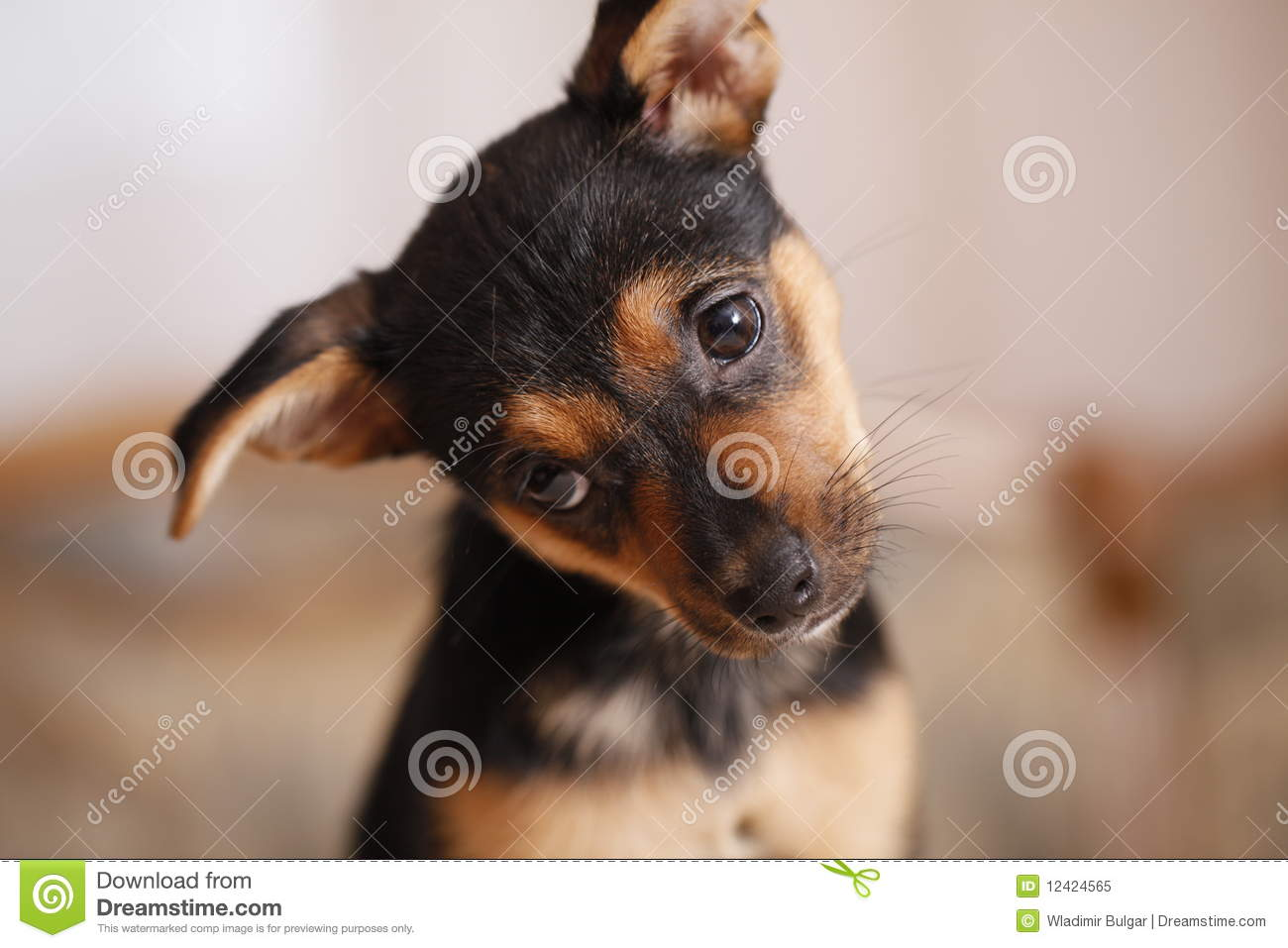 pincher stock image image of mini funny little expression 12424565