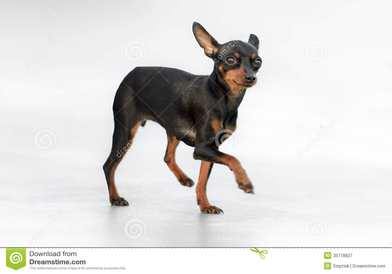 Pincher Maschio Toy Dog Fotografia Stock Libera da Diritti - Immagine ...