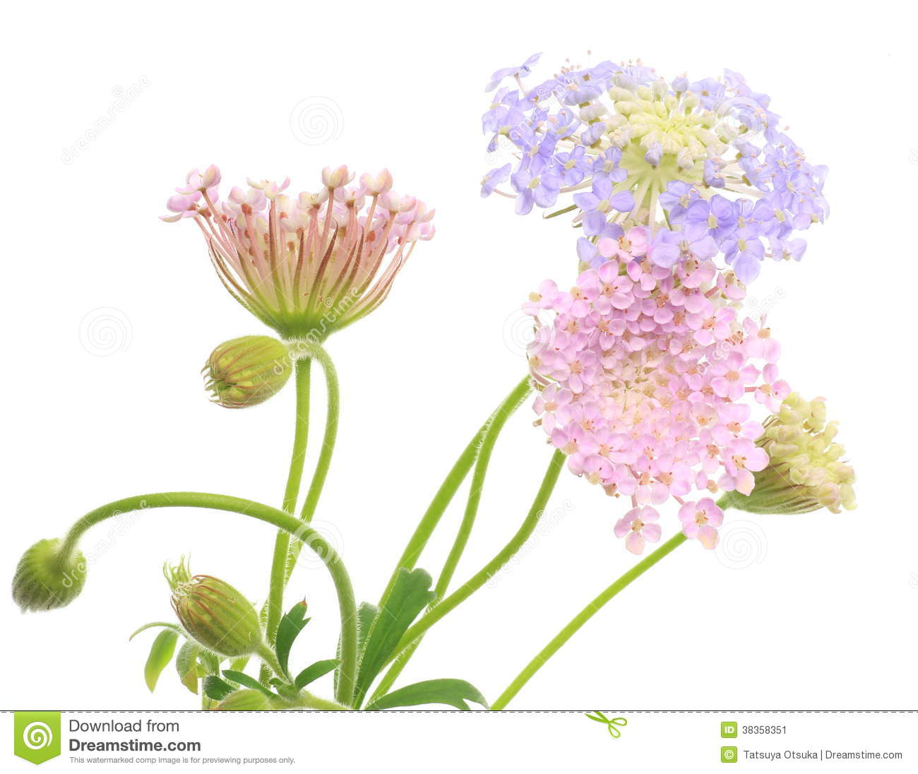Pincushion Flowers Stock Photos Royalty Free Pictures
