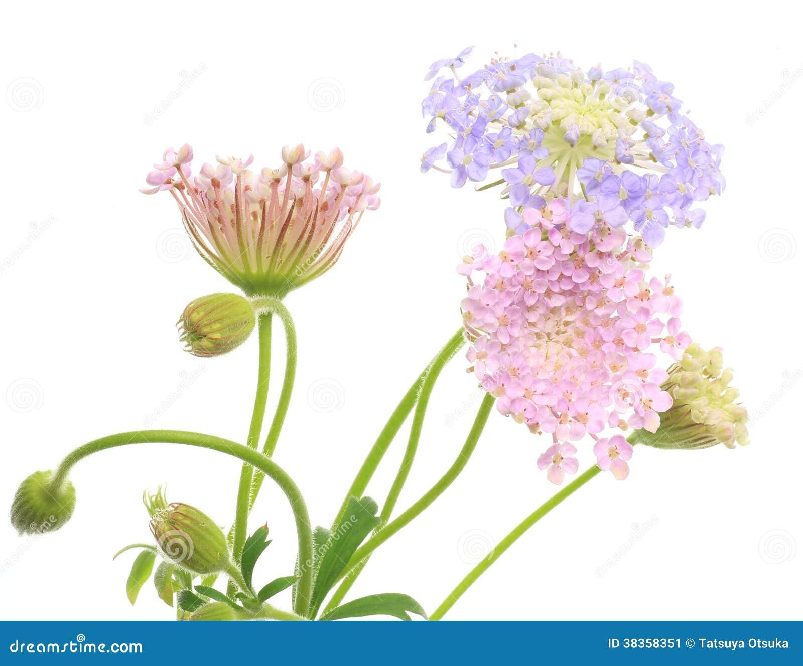 Pincushion Flowers Stock Image Image Of Shot Rose Pink 38358351