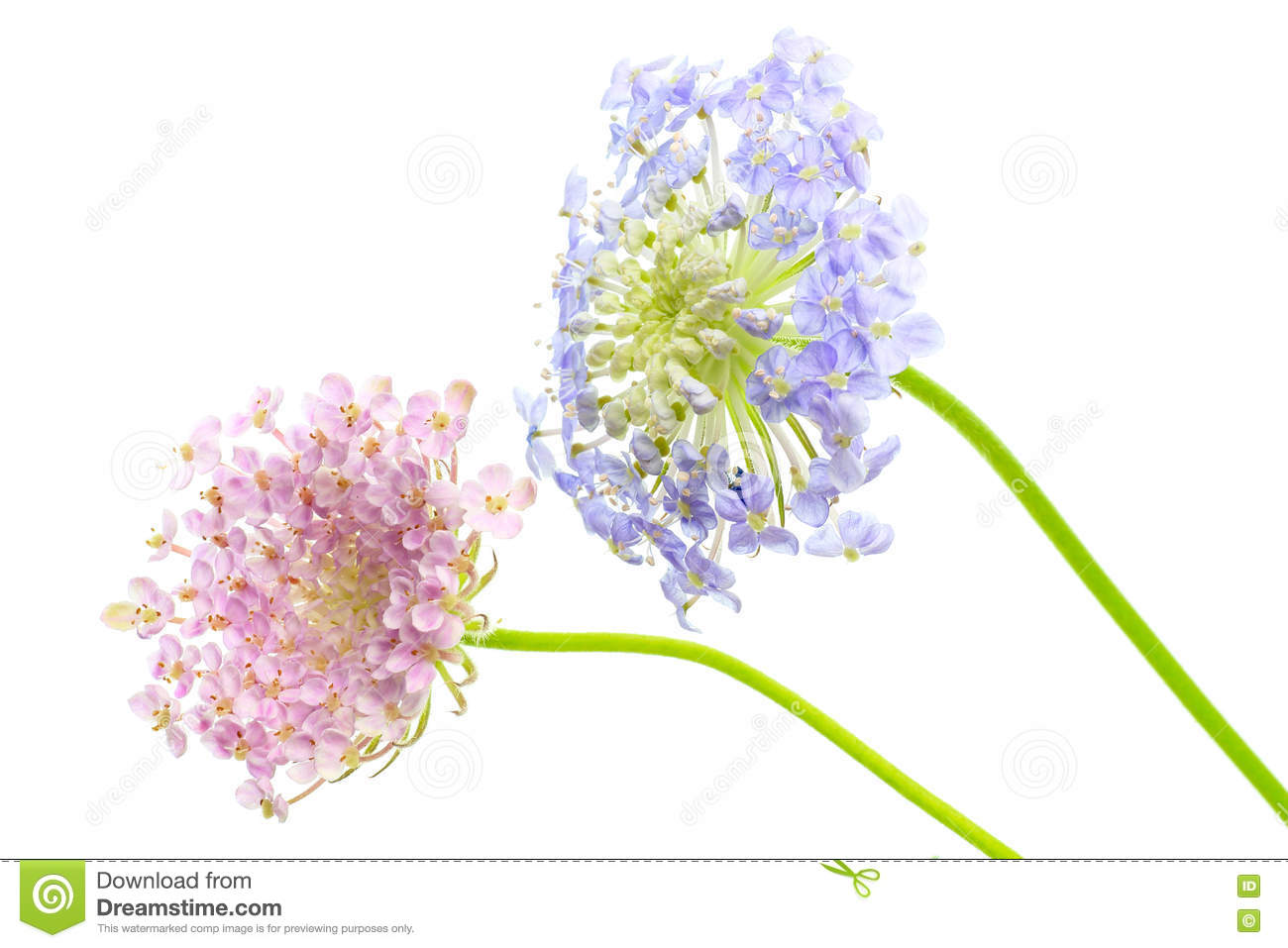 Pincushion Flowers In A White Background Stock Image Image Of