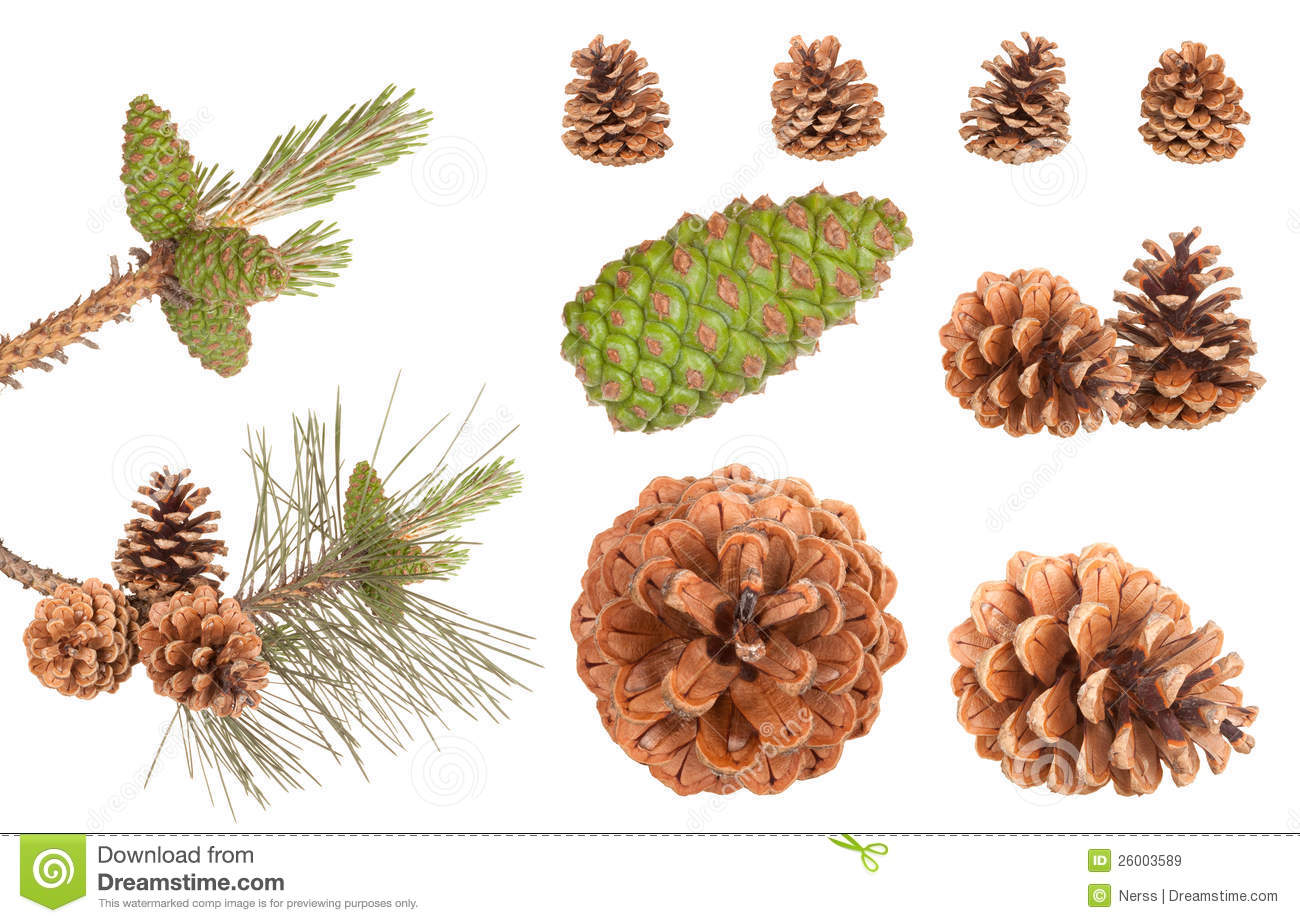 Download Pine branch cones stock image. Image of branch, celebration - 26003589